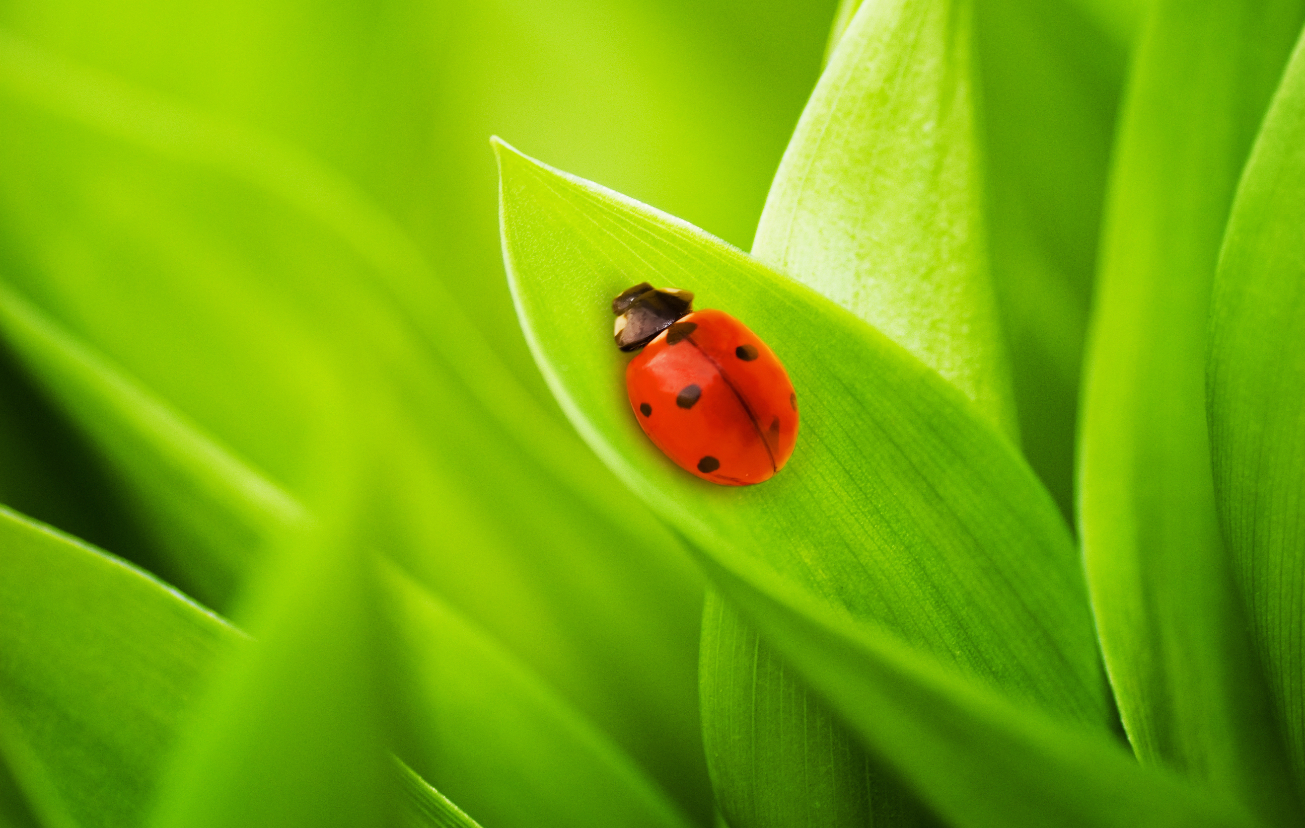12420 download wallpaper Grass, Insects, Ladybugs screensavers and pictures for free