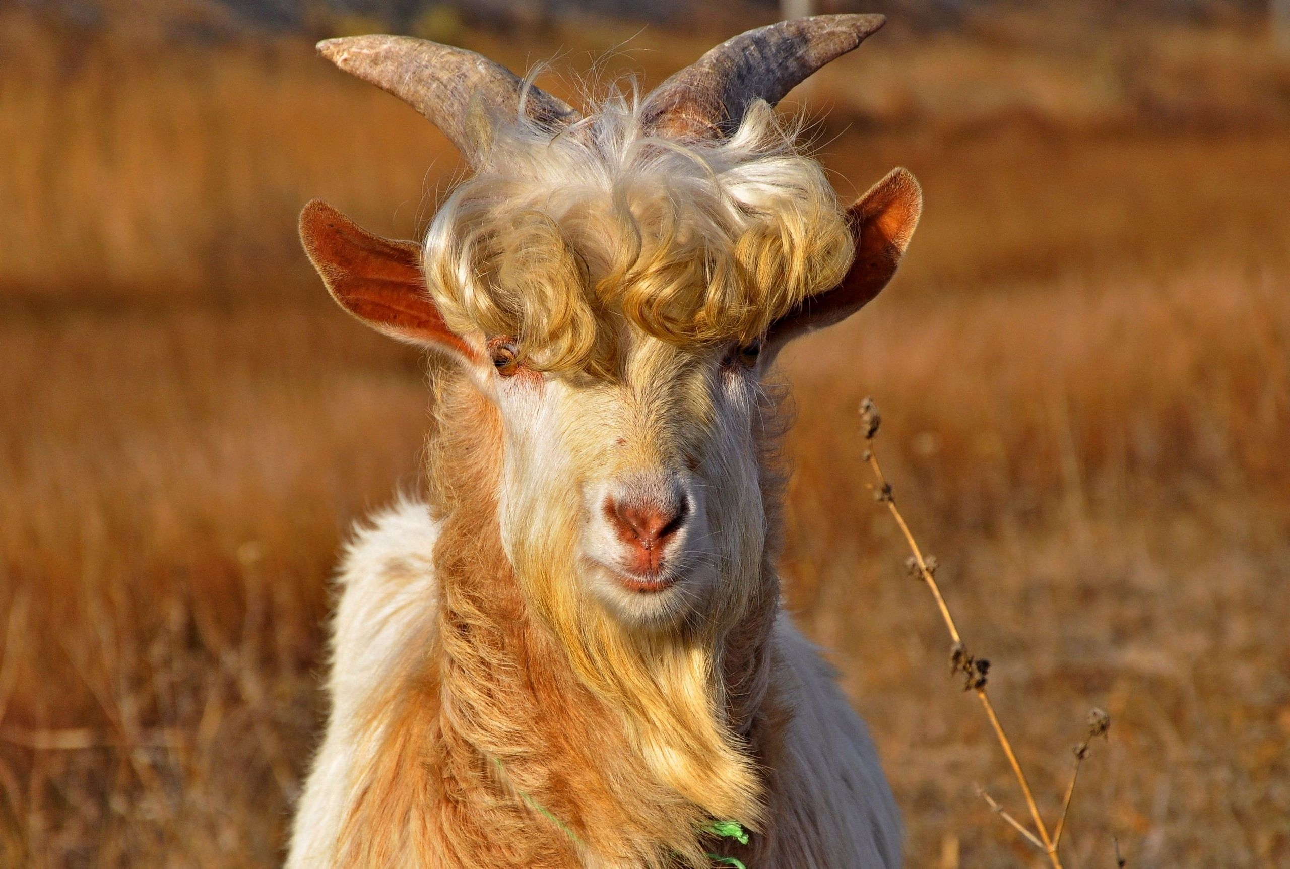 146117 Screensavers and Wallpapers Wool for phone. Download Animals, Wool, Horns, Curls, Goat pictures for free
