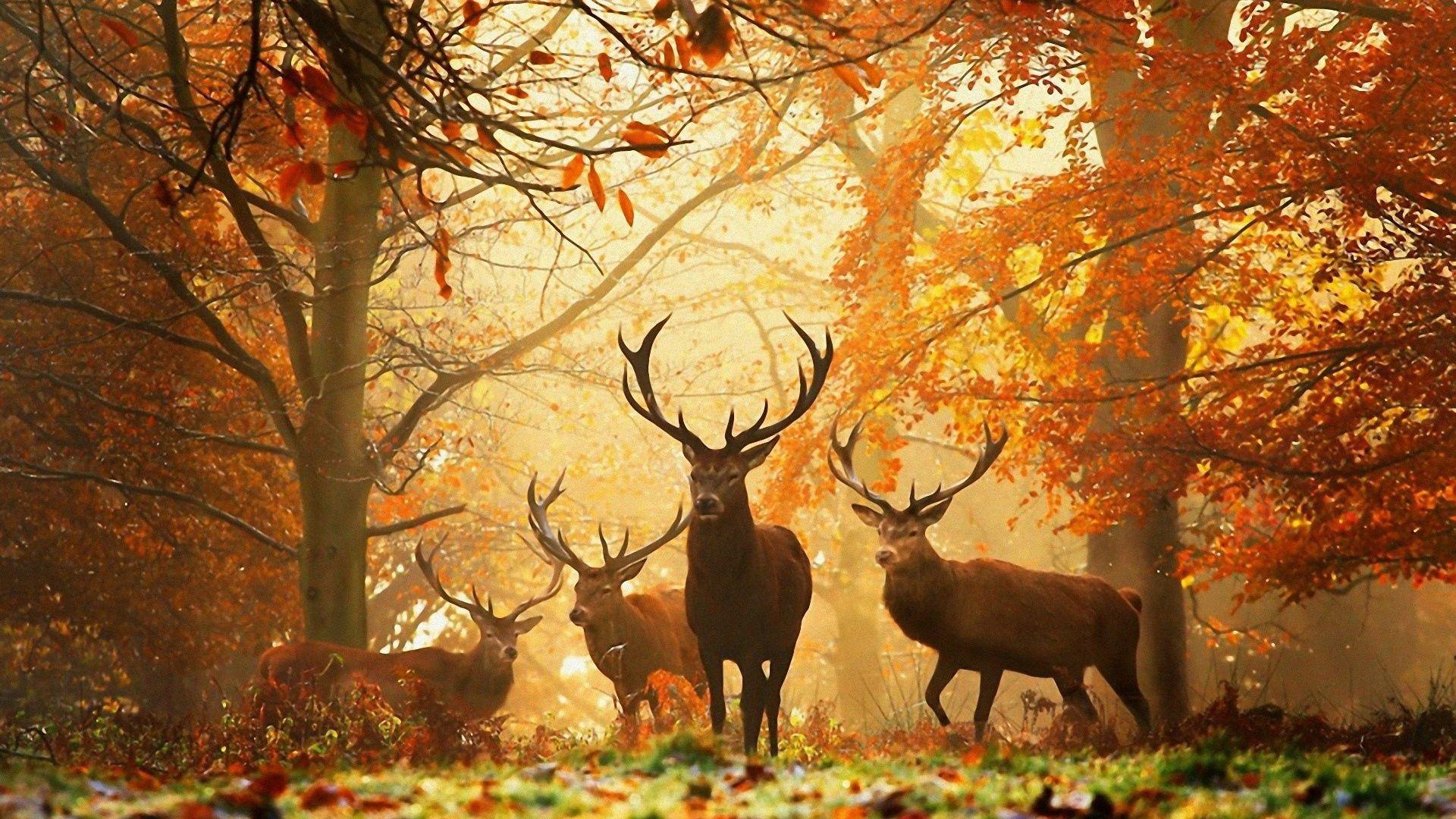 59792 скачать обои Олени, Животные, Трава, Осень, Листья, Солнце, Лучи, Лес - заставки и картинки бесплатно