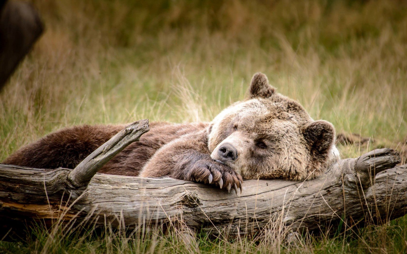 65957 Screensavers and Wallpapers Bear for phone. Download Animals, Brown, Bear, Relaxation, Rest, Log pictures for free