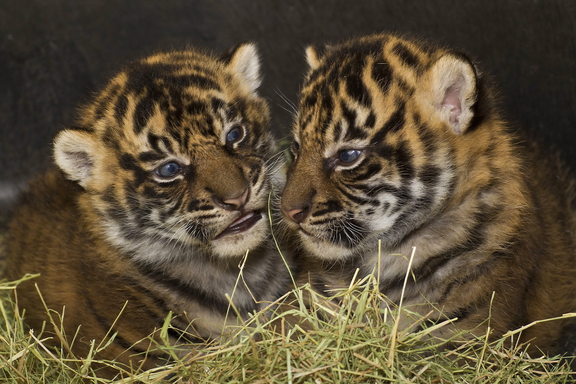 128293 Screensavers and Wallpapers Predators for phone. Download Animals, Grass, Tigers, Predators, Young, Aggression, Couple, Pair, To Lie Down, Lie, Sight, Opinion, Cubs, Tiger Cubs, Big Cats pictures for free