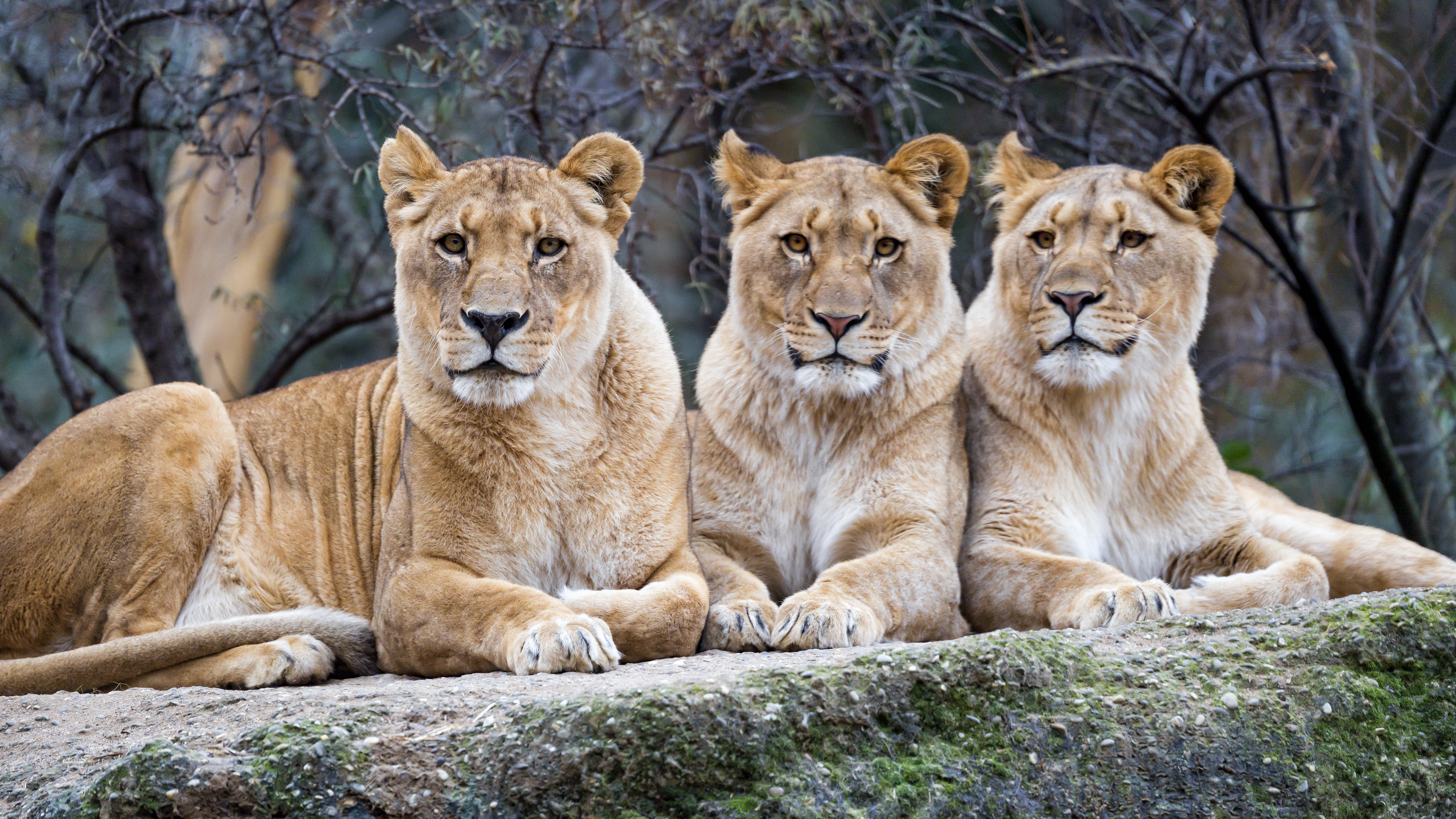110108 download wallpaper Animals, Lioness, Sight, Opinion, Big Cat, Predator screensavers and pictures for free