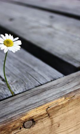 48067 télécharger le fond d'écran Plantes, Fleurs, Camomille - économiseurs d'écran et images gratuitement