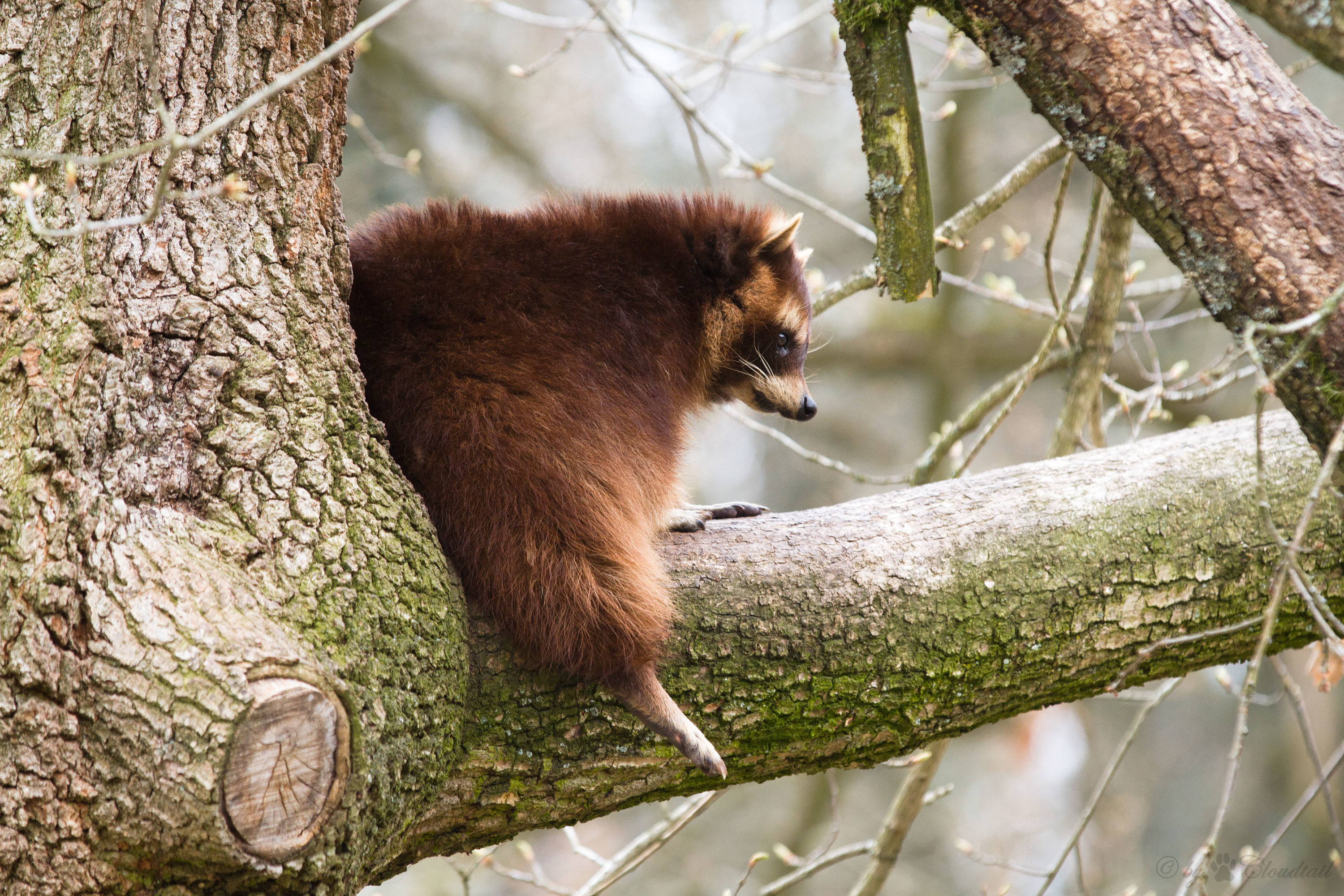 67327 Screensavers and Wallpapers Raccoon for phone. Download Animals, Tree, Branch, Animal, Raccoon pictures for free