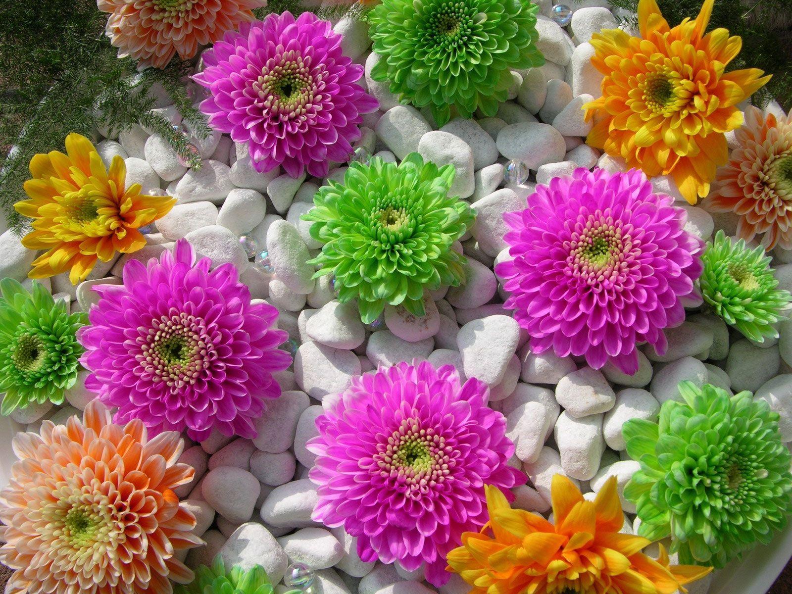58178 скачать обои Цветы, Камни, Композиция, Красота, Хризантемы - заставки и картинки бесплатно