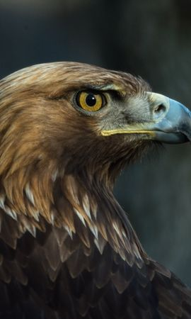 130549 download wallpaper Animals, Eagle, Bird, Beak, Predator, Sight, Opinion screensavers and pictures for free