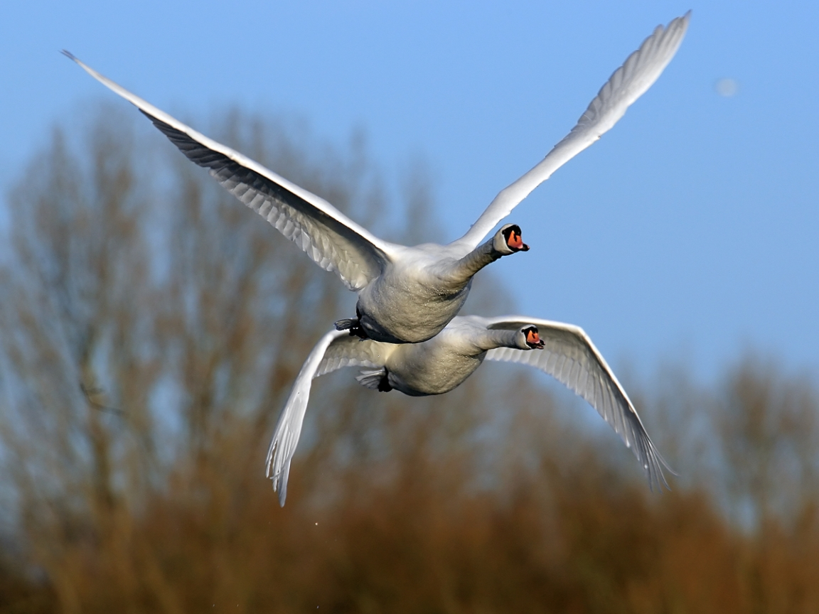 33138 download wallpaper Animals, Birds, Swans screensavers and pictures for free
