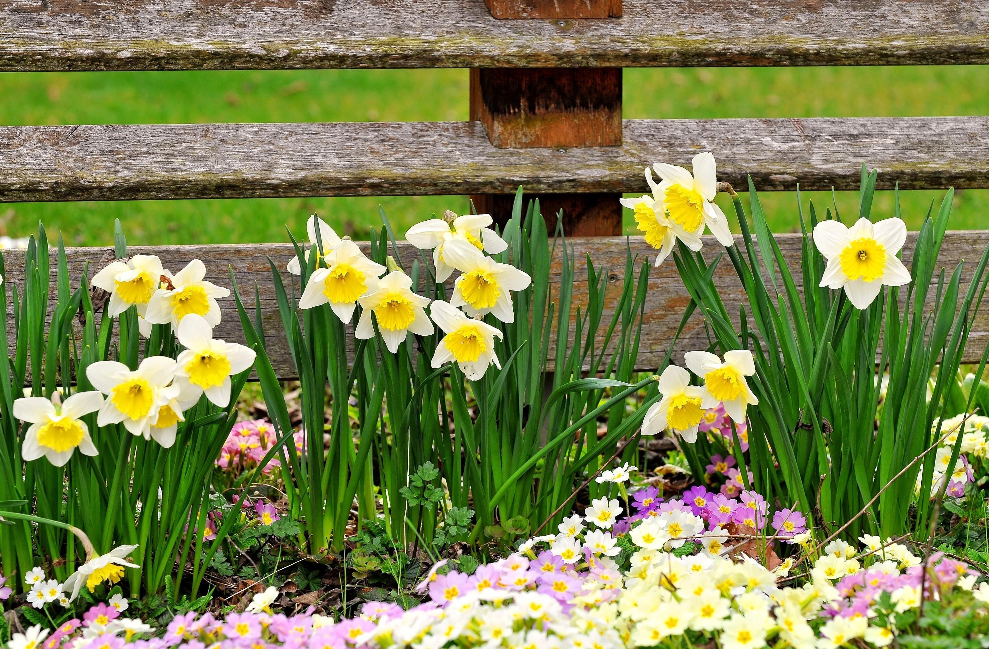 122711 Заставки и Обои Нарциссы на телефон. Скачать Цветы, Нарциссы, Ограда, Весна, Примула картинки бесплатно