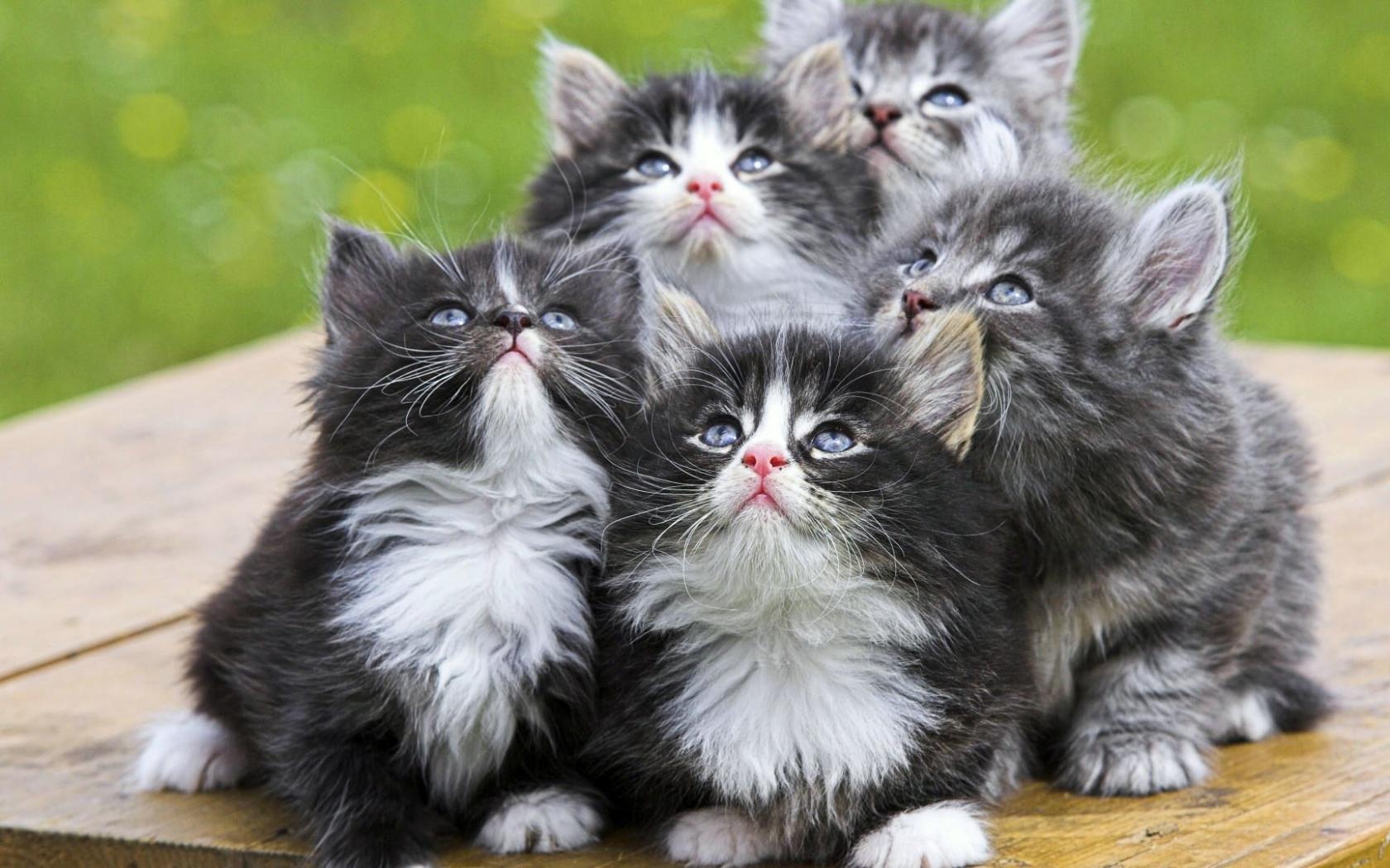 46403 скачать Серые обои на телефон бесплатно, Животные, Кошки (Коты, Котики) Серые картинки и заставки на мобильный