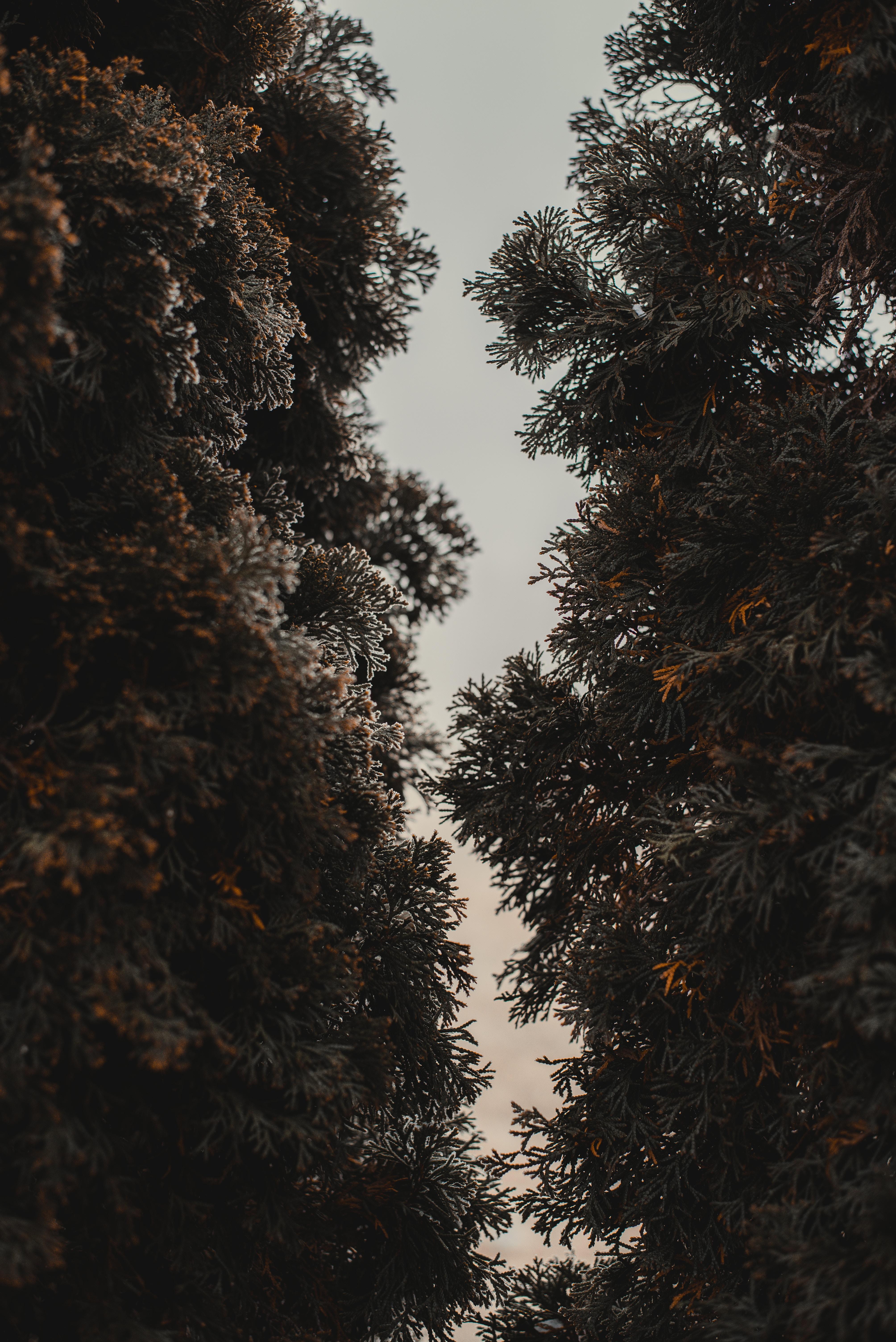 130560 Hintergrundbild herunterladen Natur, Bäume, Nadeln, Pflanze, Thuja, Immergrün, Immergrünen - Bildschirmschoner und Bilder kostenlos