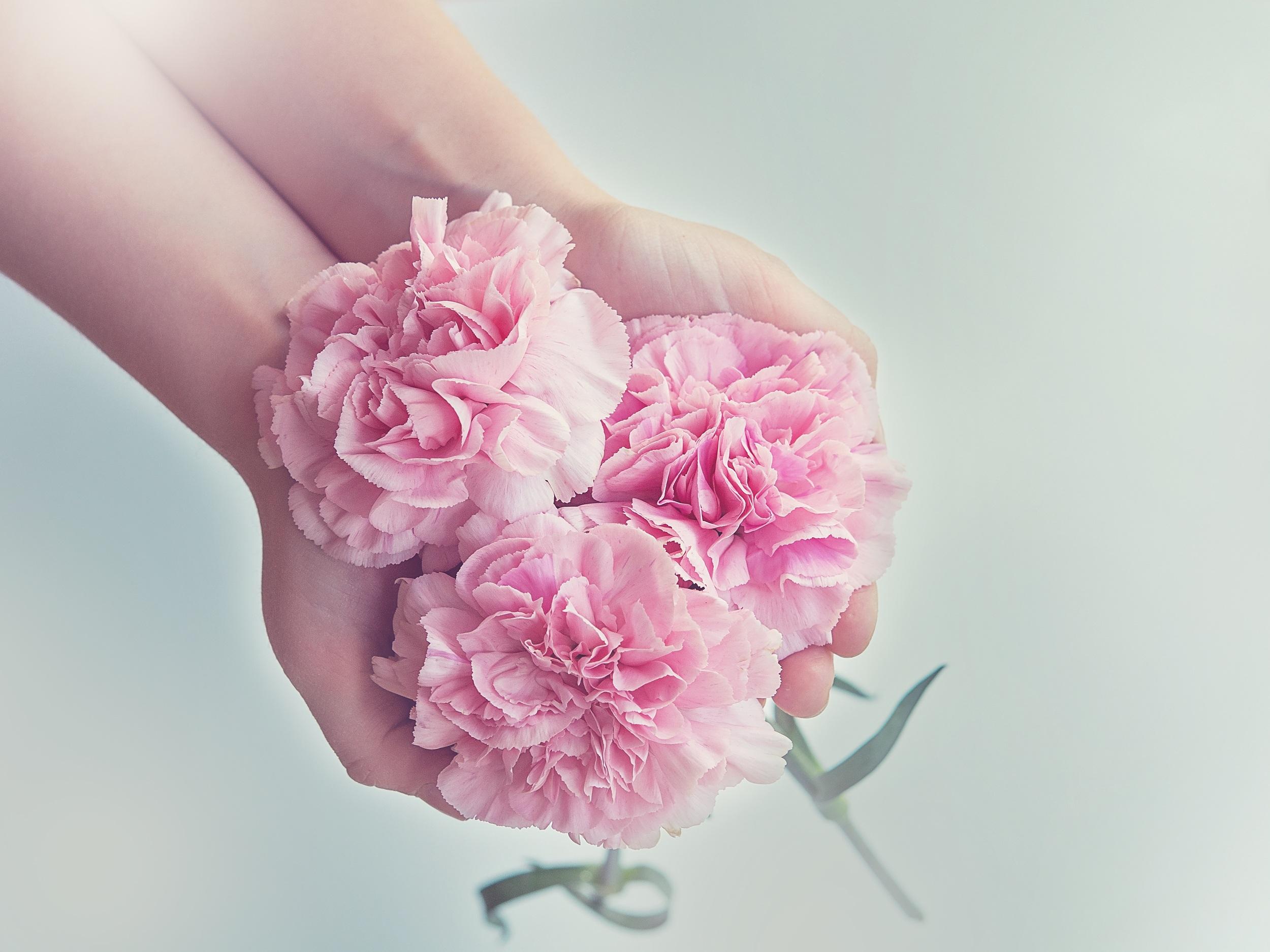 53467 Заставки и Обои Гвоздики на телефон. Скачать Цветы, Гвоздики, Руки, Розовый картинки бесплатно