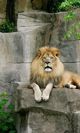 8509 download wallpaper Animals, Lions screensavers and pictures for free