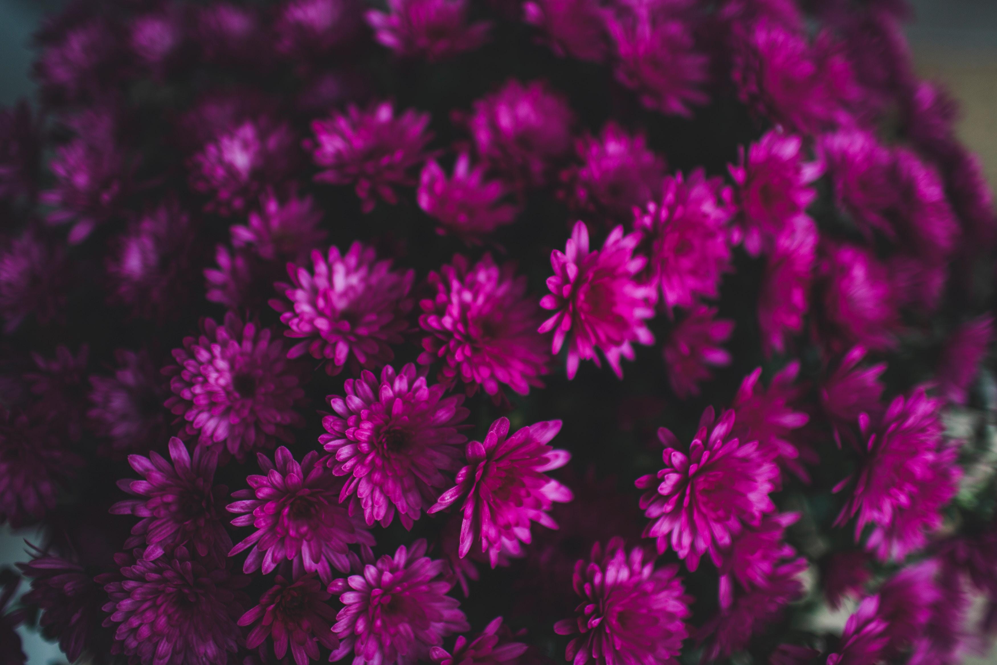 59885 скачать обои Хризантемы, Цветы, Букет, Фиолетовый - заставки и картинки бесплатно