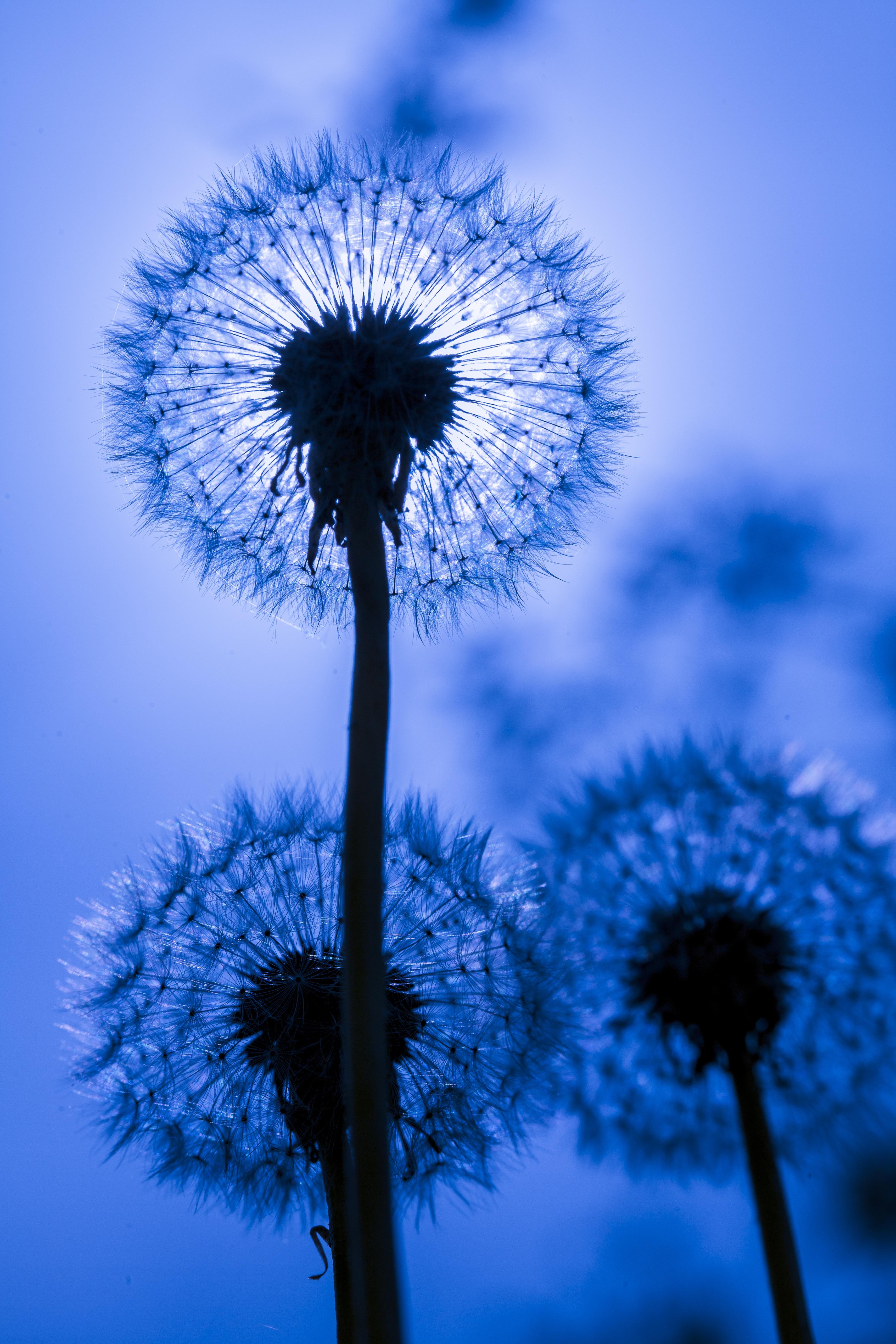 141186 Hintergrundbild herunterladen Blume, Löwenzahn, Makro, Flaum, Fuzz - Bildschirmschoner und Bilder kostenlos