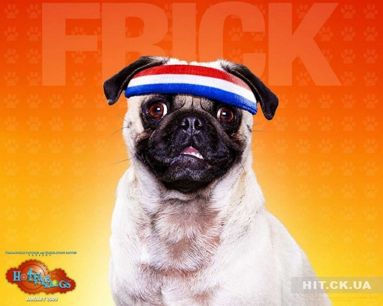 442 download wallpaper Animals, Dogs, Pugs screensavers and pictures for free