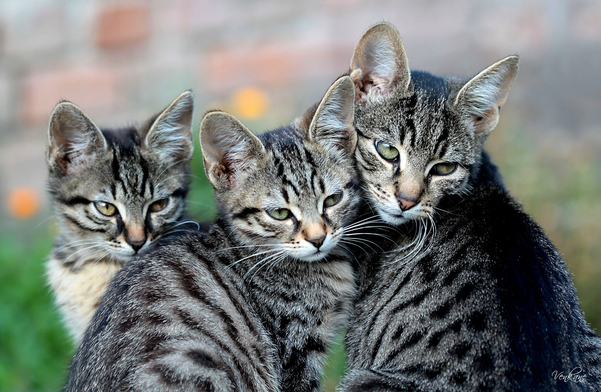 126820 Screensavers and Wallpapers Kittens for phone. Download Animals, Cat, Sight, Opinion, Kittens pictures for free
