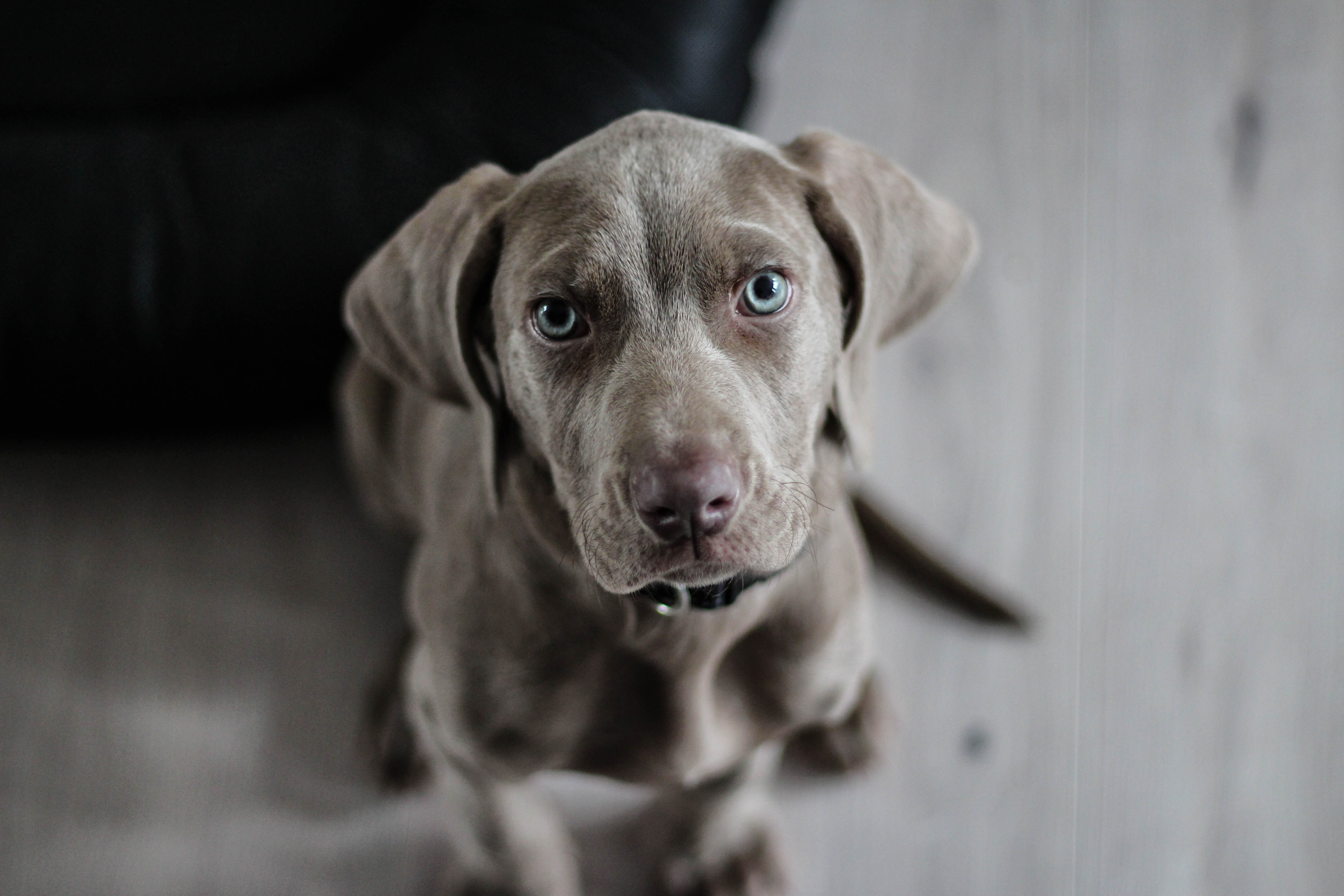 97678 download wallpaper Animals, Weimaraner, Dog, Muzzle, Eyes screensavers and pictures for free