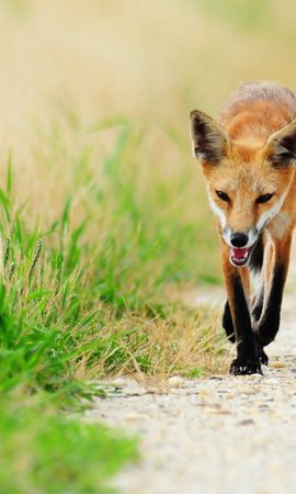 157425 download wallpaper Animals, Fox, Thin, Skinny, Grass, Sick, Unhappy screensavers and pictures for free
