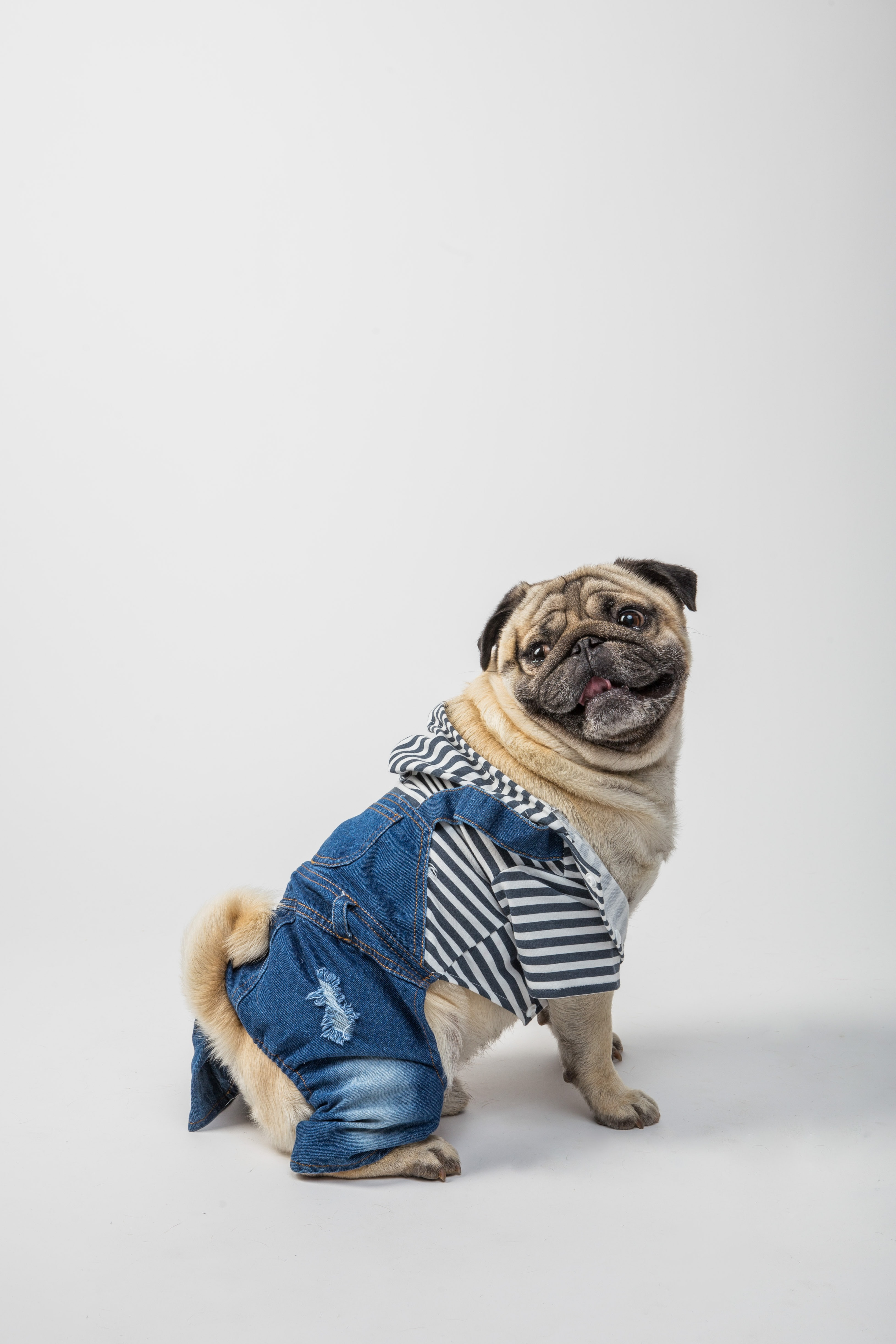 53335 download wallpaper Animals, Pug, Dog, Pet, Protruding Tongue, Tongue Stuck Out screensavers and pictures for free