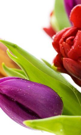 44819 télécharger le fond d'écran Plantes, Fleurs, Tulipes - économiseurs d'écran et images gratuitement