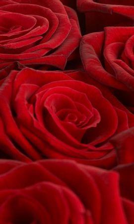 19757 baixar papel de parede Plantas, Flores, Fundo, Rosas - protetores de tela e imagens gratuitamente