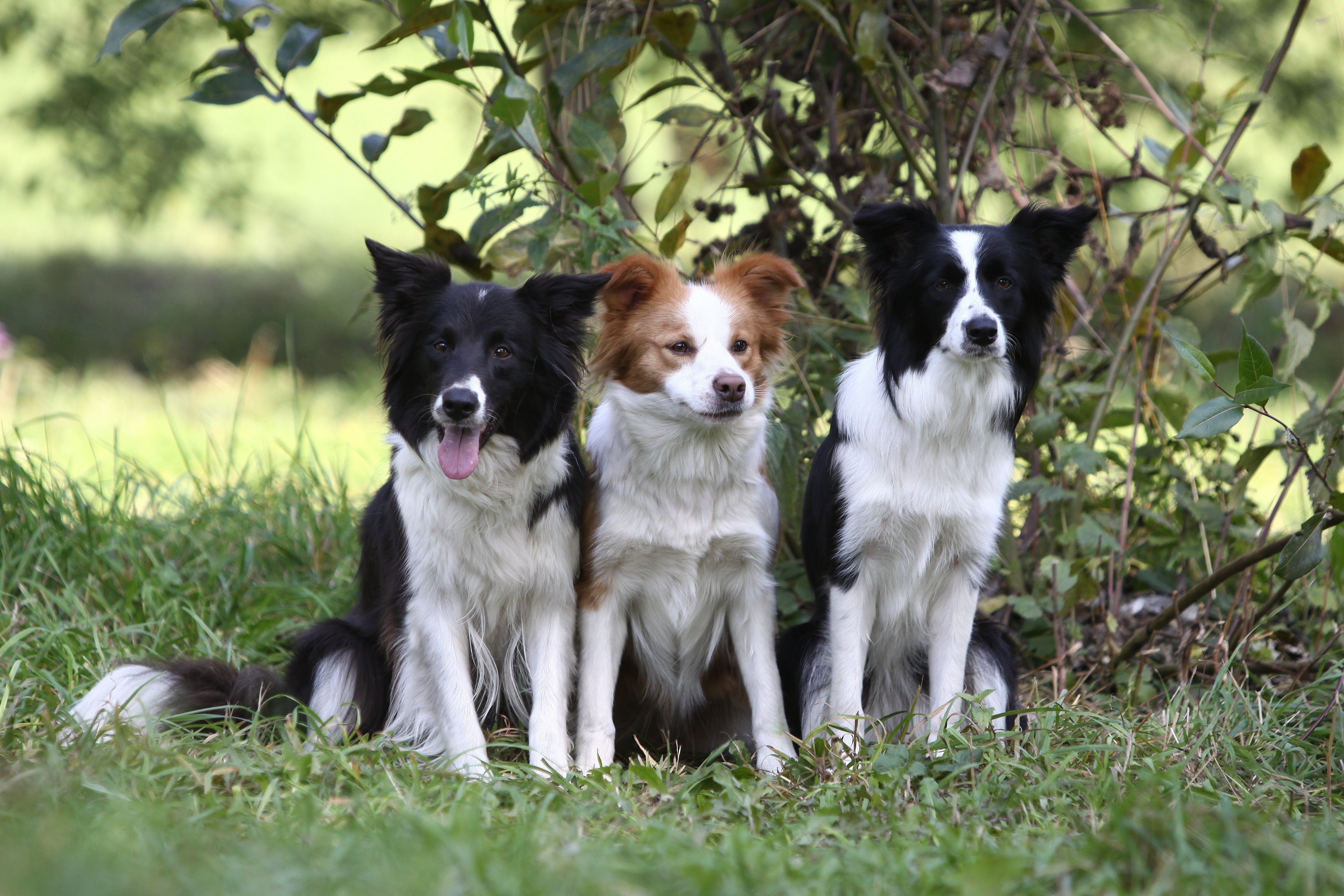 119051 download wallpaper Animals, Dogs, Grass, Sit, Wood, Tree, Branch, Bush, Three screensavers and pictures for free