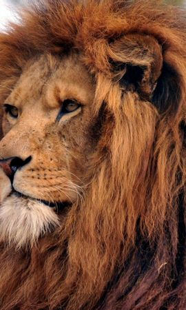 64849 download wallpaper Animals, Lion, Mane, Old, Sight, Opinion, Wisdom screensavers and pictures for free