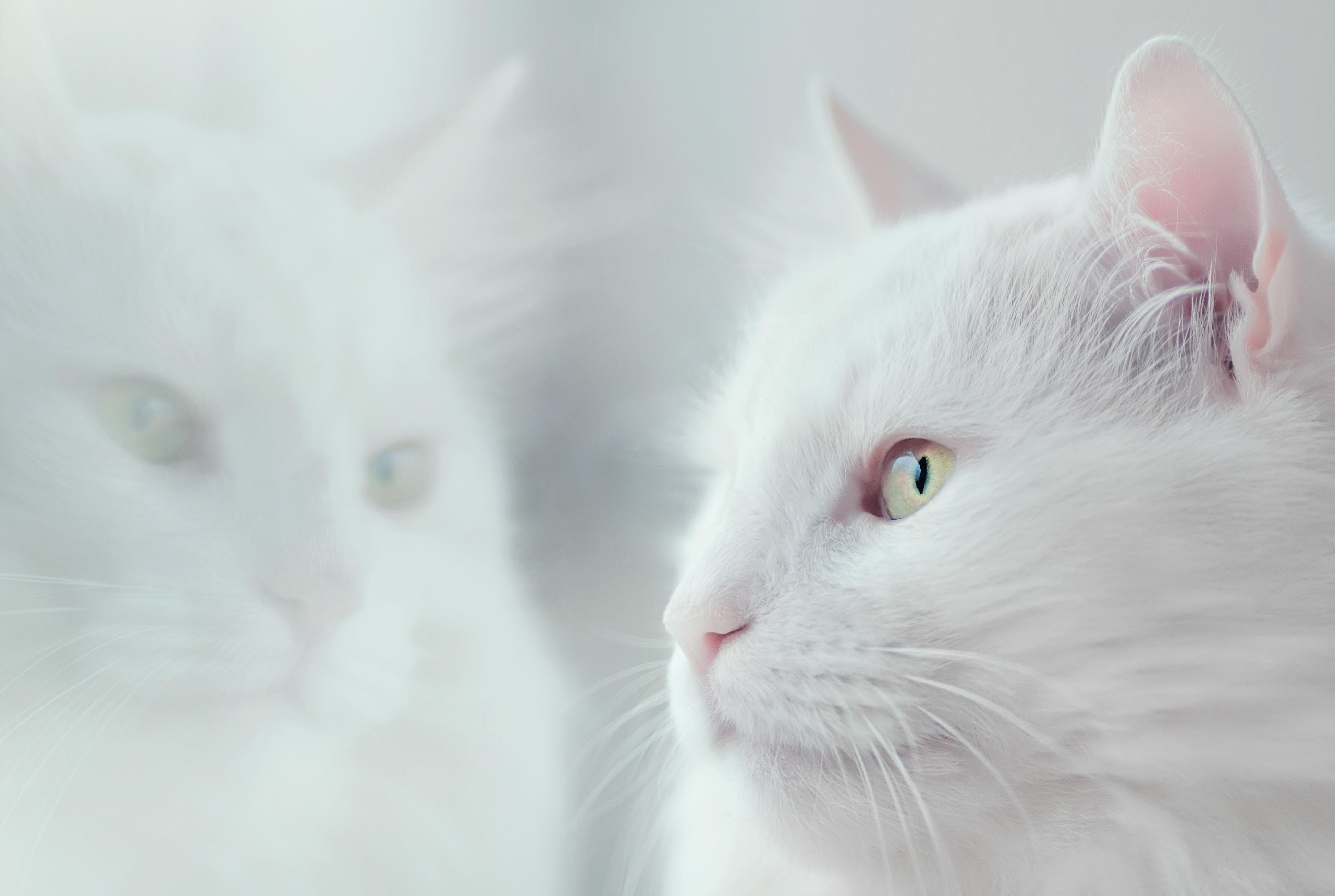 103039 скачать обои Животные, Кот, Белый, Пушистый, Питомец - заставки и картинки бесплатно
