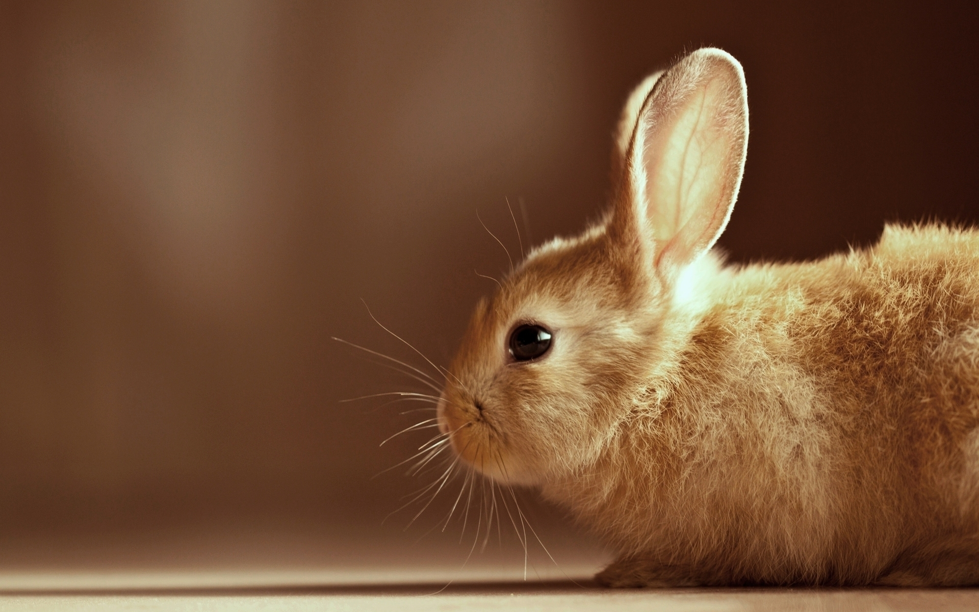 35215 download wallpaper Animals, Rabbits screensavers and pictures for free
