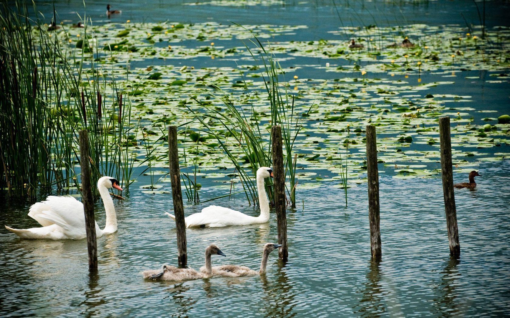 157776 Hintergrundbild herunterladen Tiere, Ducks, Swans, Swamp, See, Grüne, Grünen - Bildschirmschoner und Bilder kostenlos