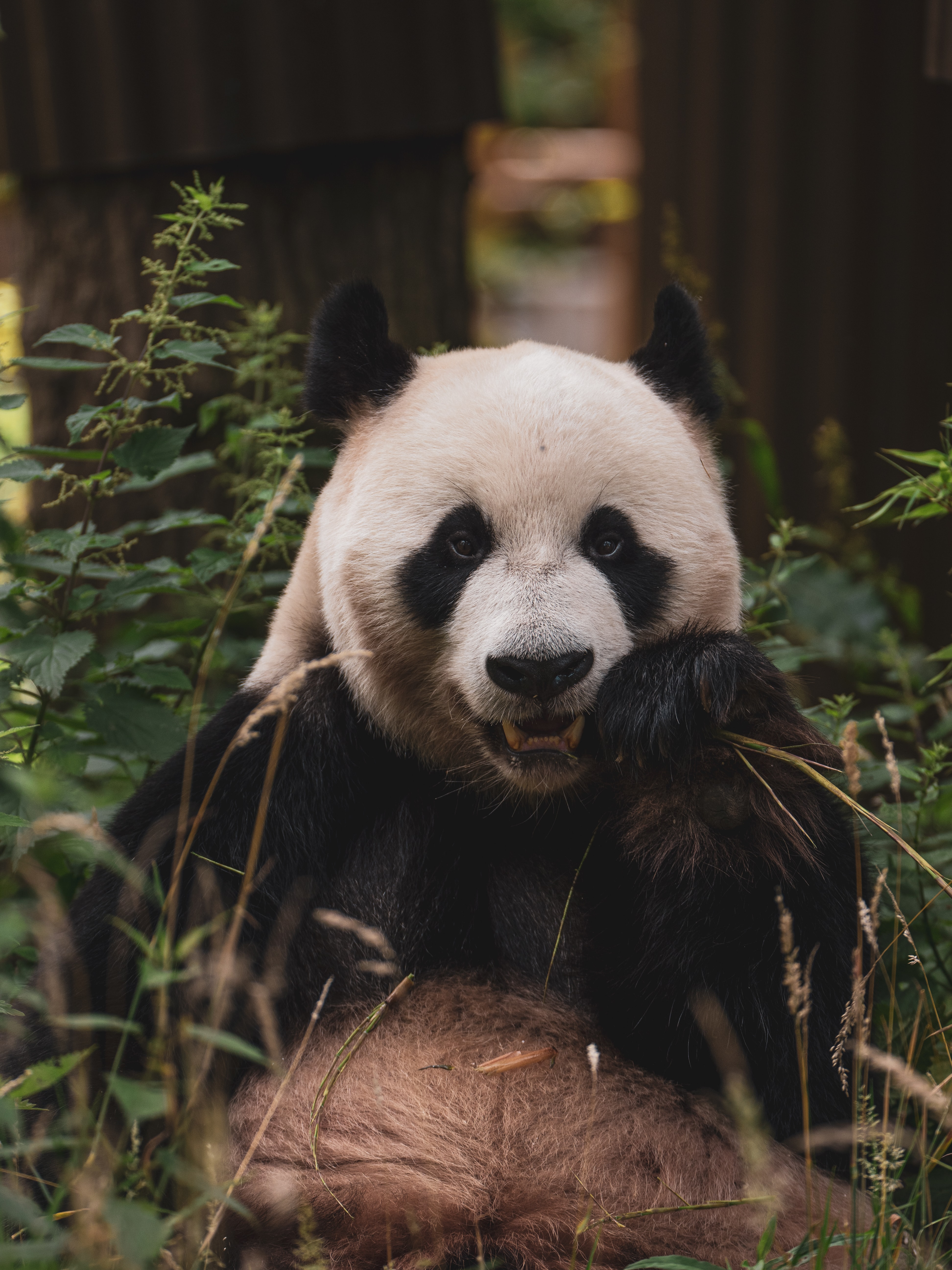 122583 download wallpaper Animals, Panda, Animal, Muzzle, Bamboo screensavers and pictures for free