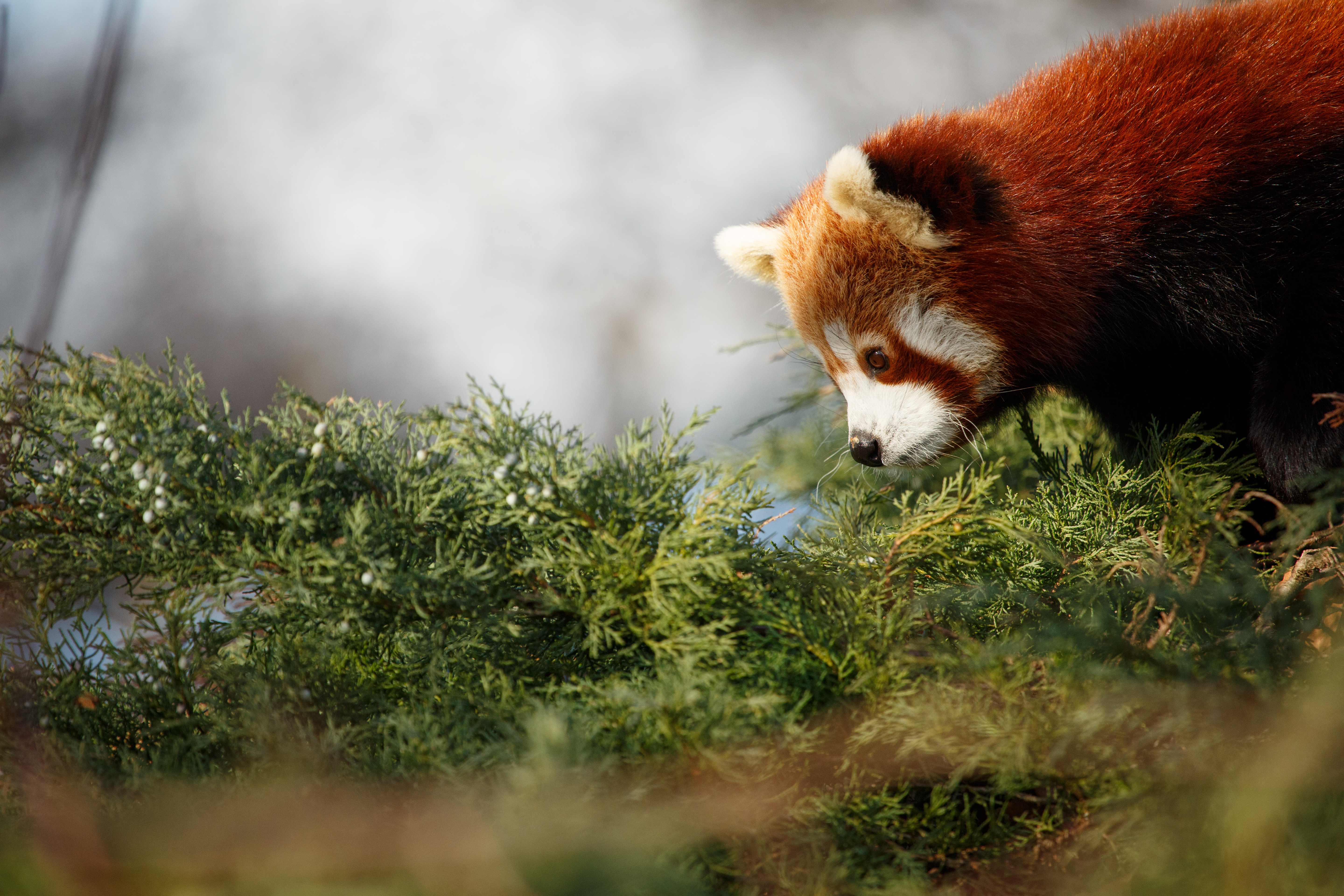 62334 download wallpaper Animals, Red Panda, Nice, Sweetheart, Panda, Profile screensavers and pictures for free