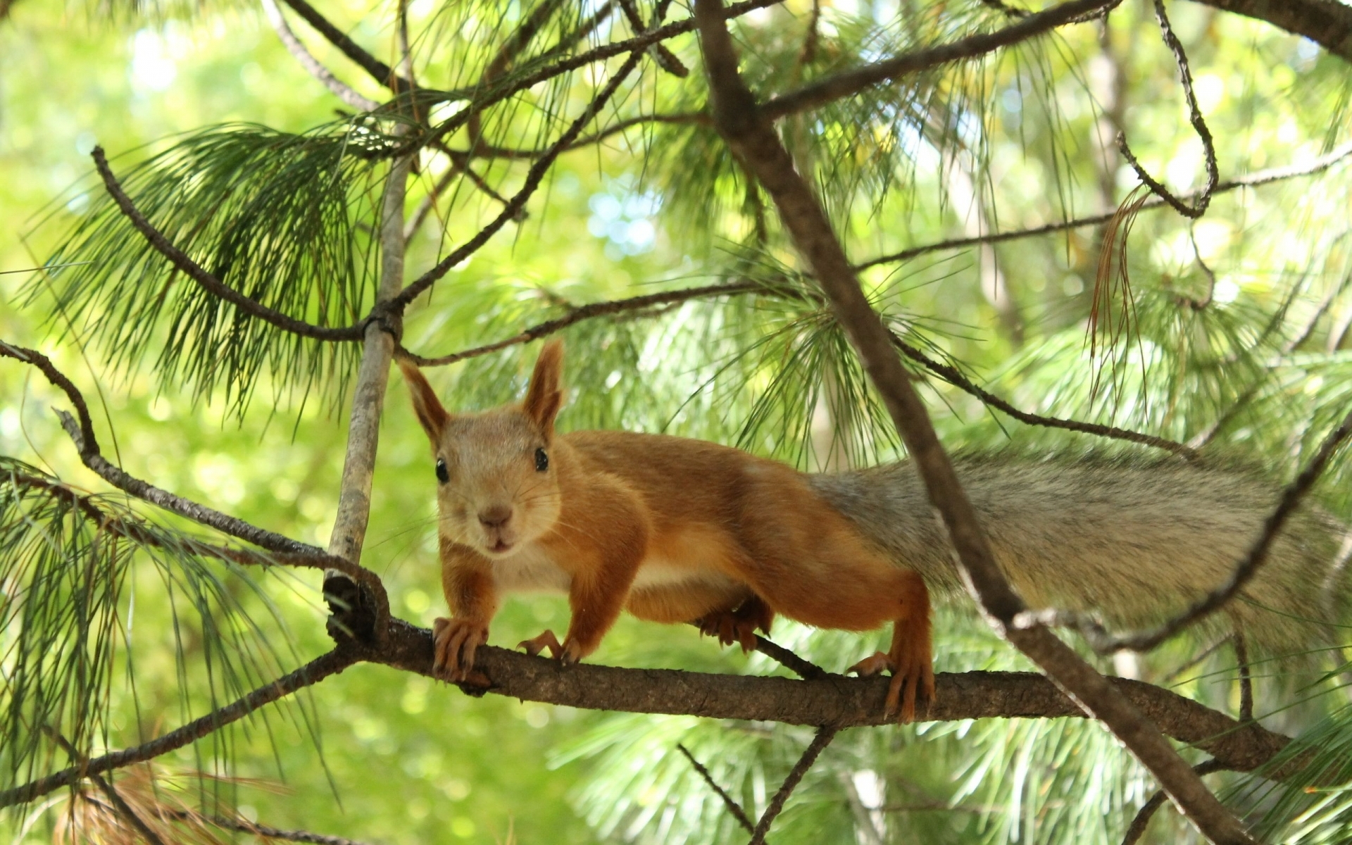 44950 download wallpaper Animals, Squirrel screensavers and pictures for free