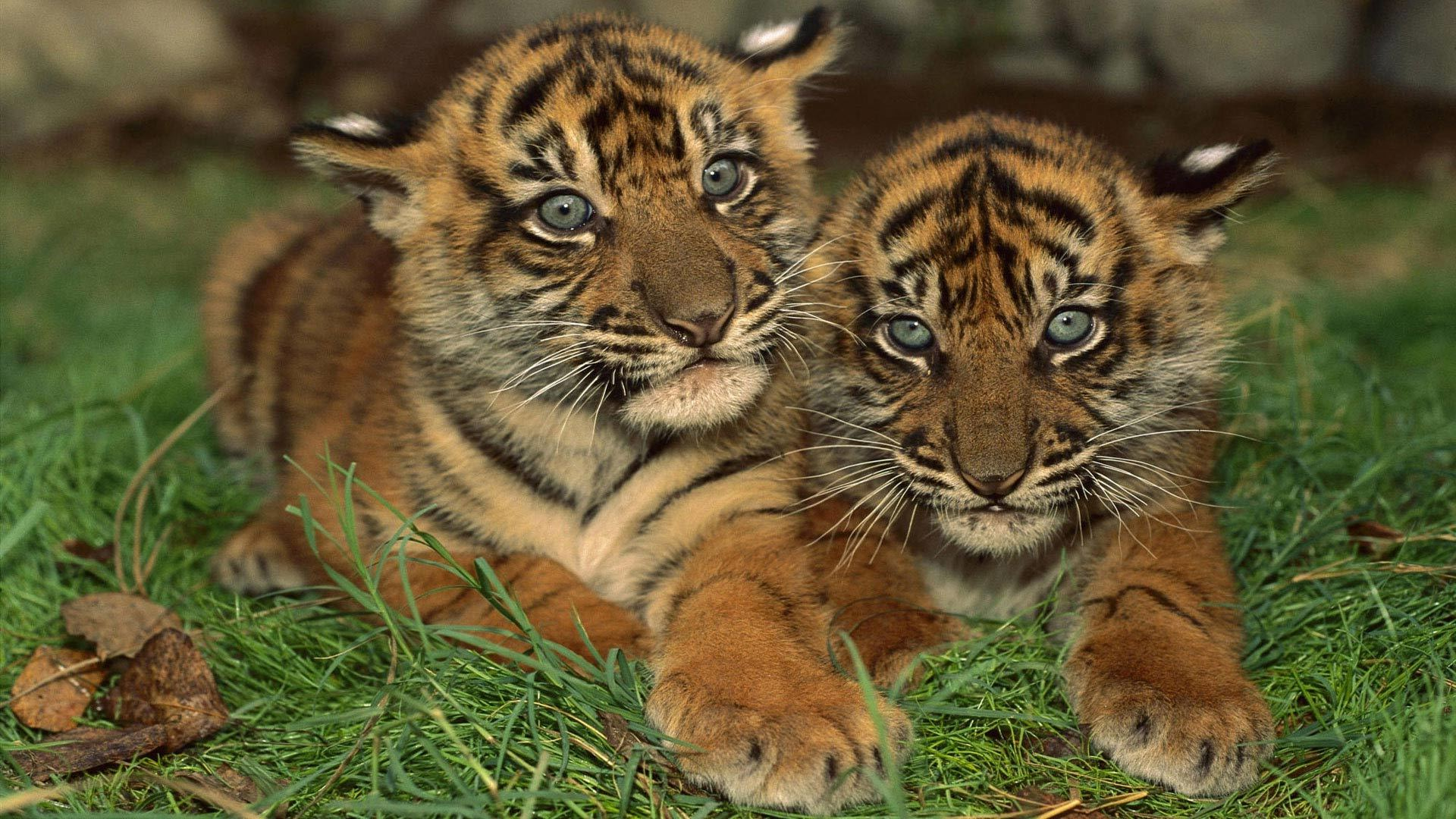 42553 download wallpaper Animals, Tigers screensavers and pictures for free