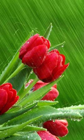 47123 baixar papel de parede Plantas, Flores, Tulipas - protetores de tela e imagens gratuitamente