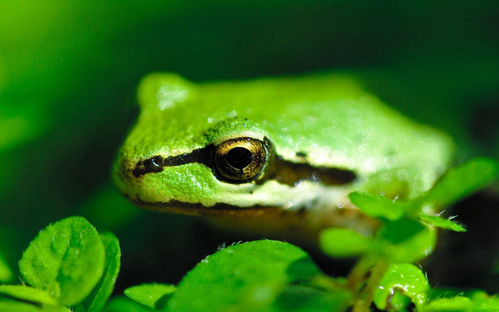 98245 скачать обои Животные, Лягушка, Пруд, Зеленая, Полосы, Листья - заставки и картинки бесплатно
