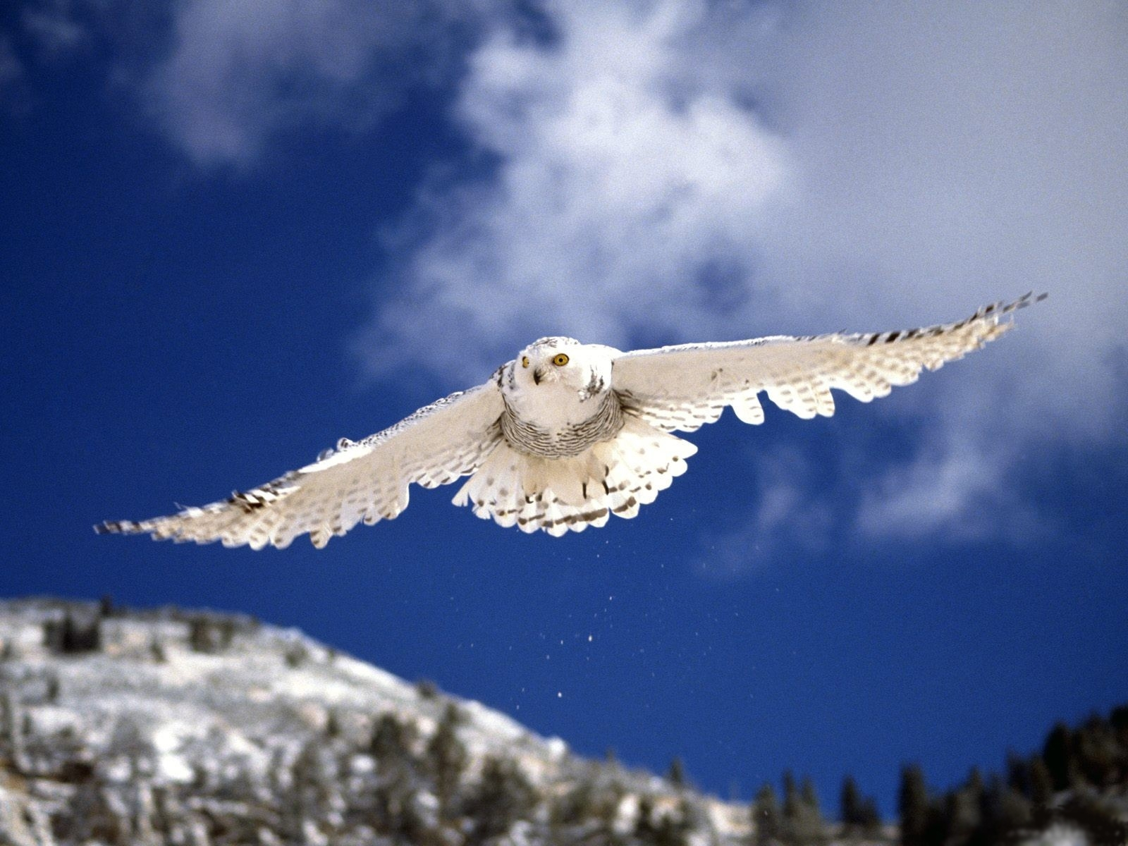 4633 download wallpaper Animals, Birds, Owl screensavers and pictures for free