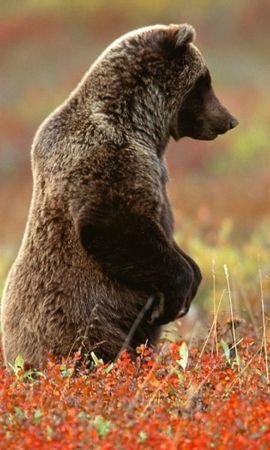 40449 baixar papel de parede Animais, Bears - protetores de tela e imagens gratuitamente