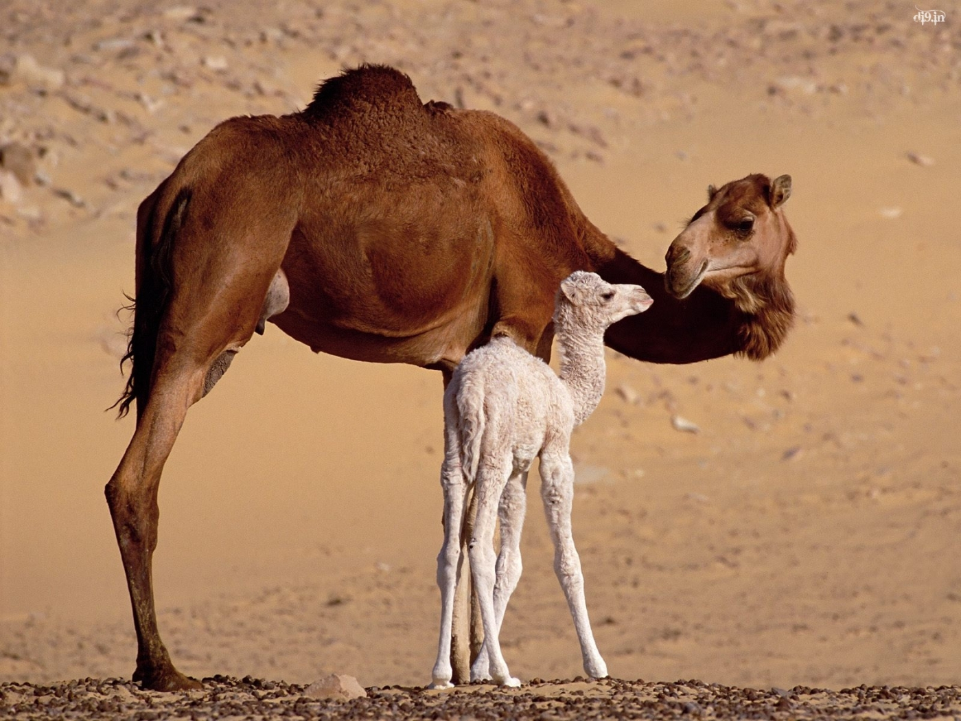33143 download wallpaper Animals, Camels screensavers and pictures for free