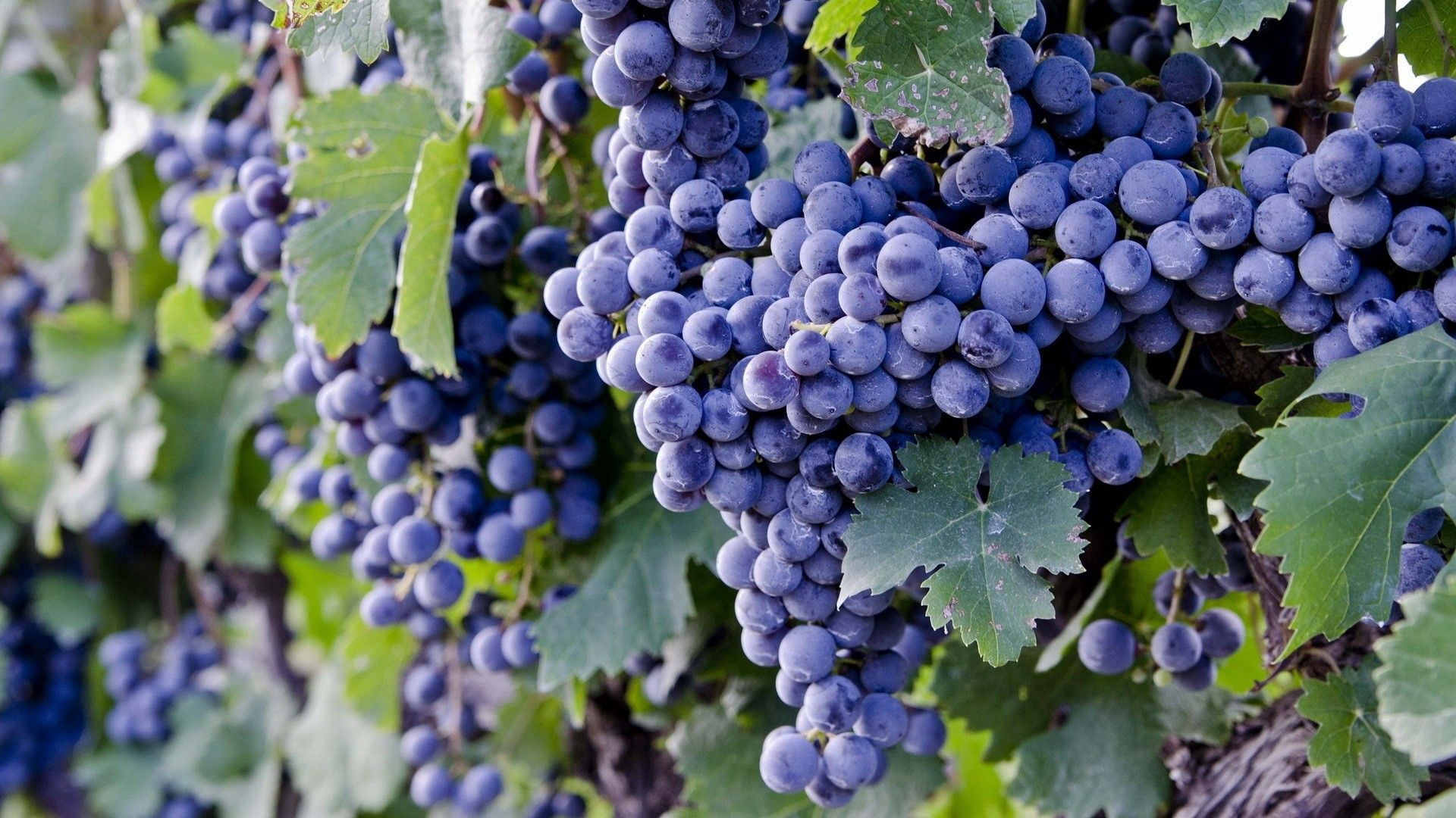 88052 download wallpaper Food, Branch, Grapes, Ripe screensavers and pictures for free