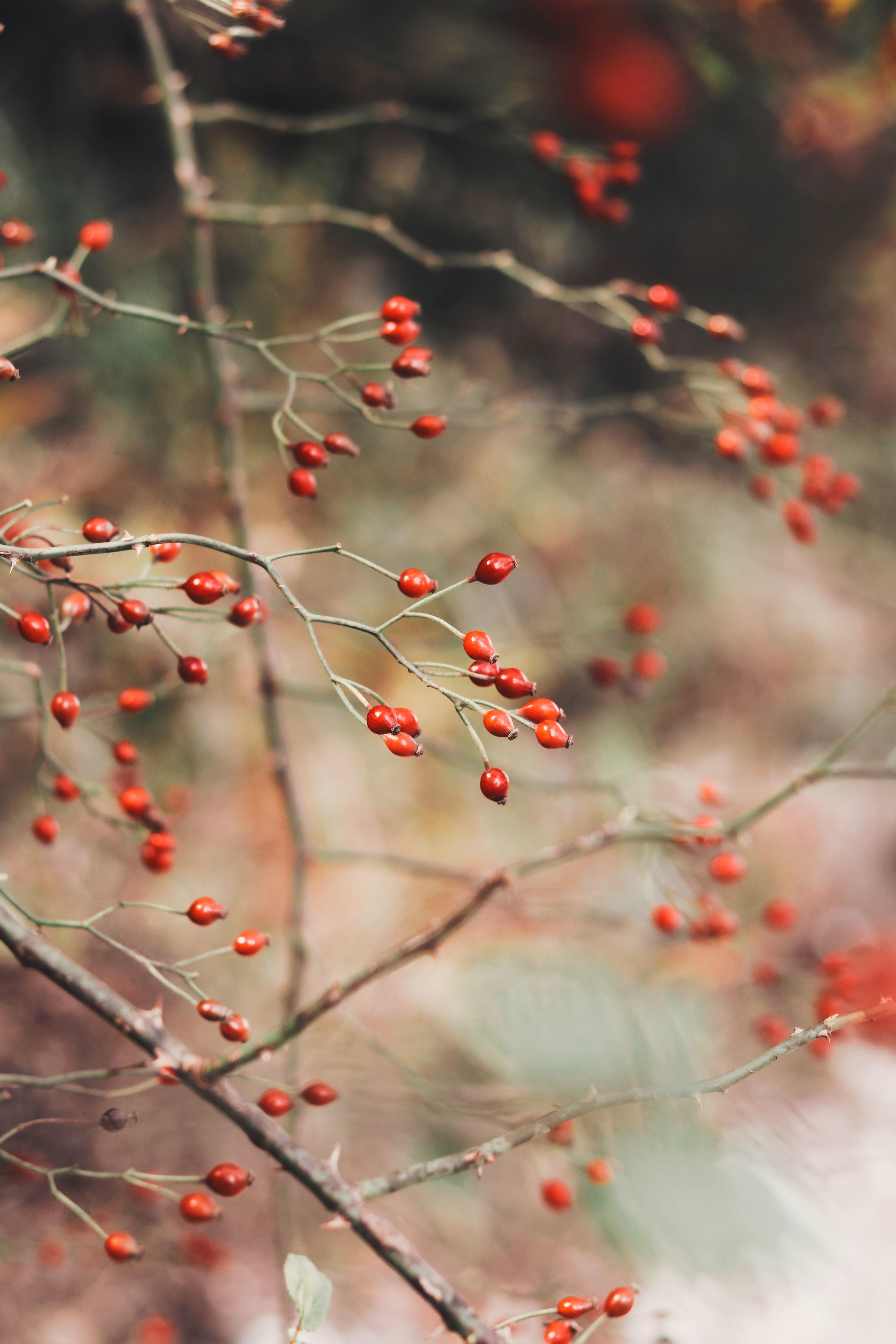 119425 скачать обои Ягоды, Шиповник, Растение, Макро, Красный, Куст - заставки и картинки бесплатно