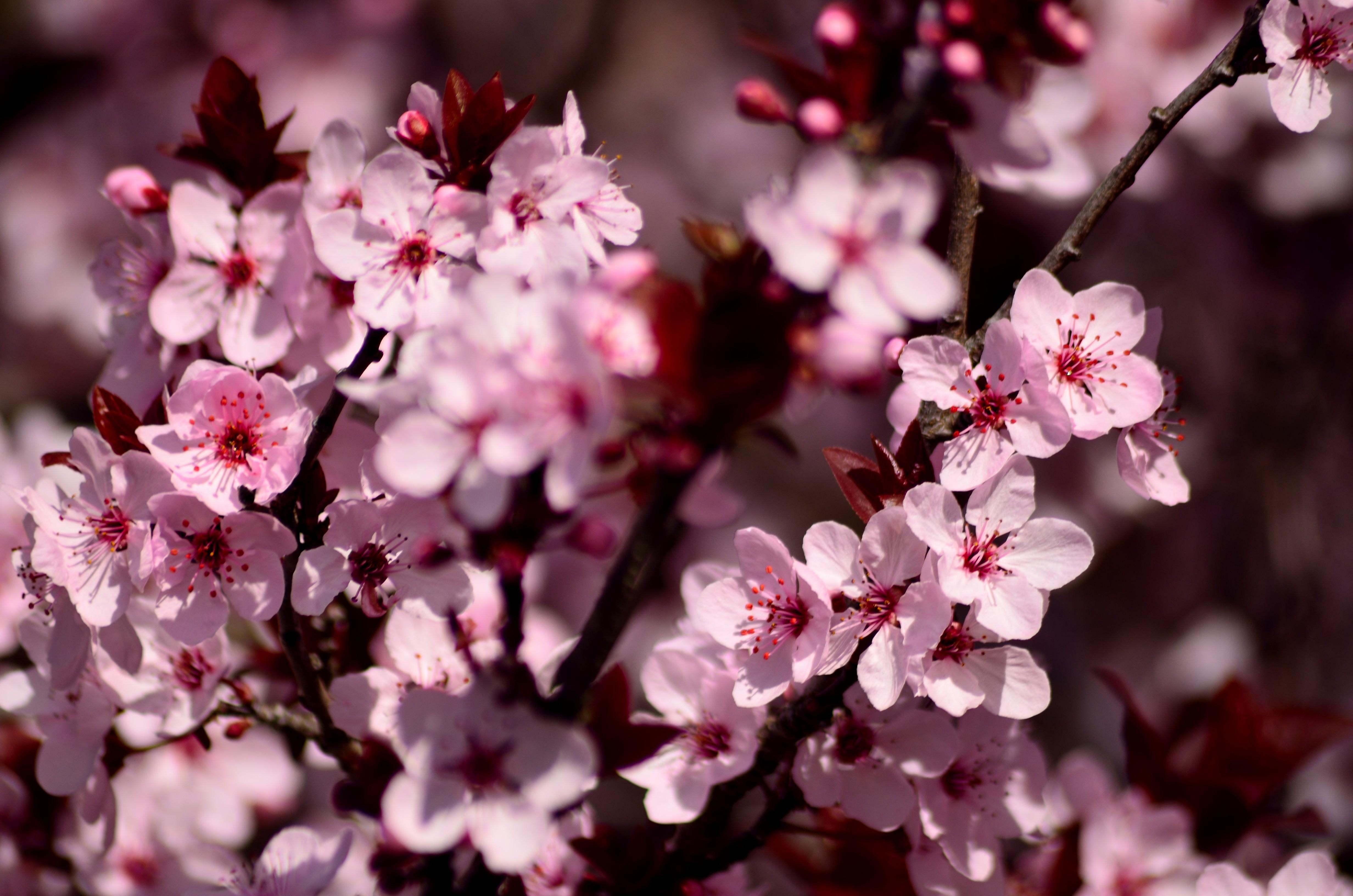 99527 Screensavers and Wallpapers Sakura for phone. Download Flowers, Pink, Sakura, Petals pictures for free