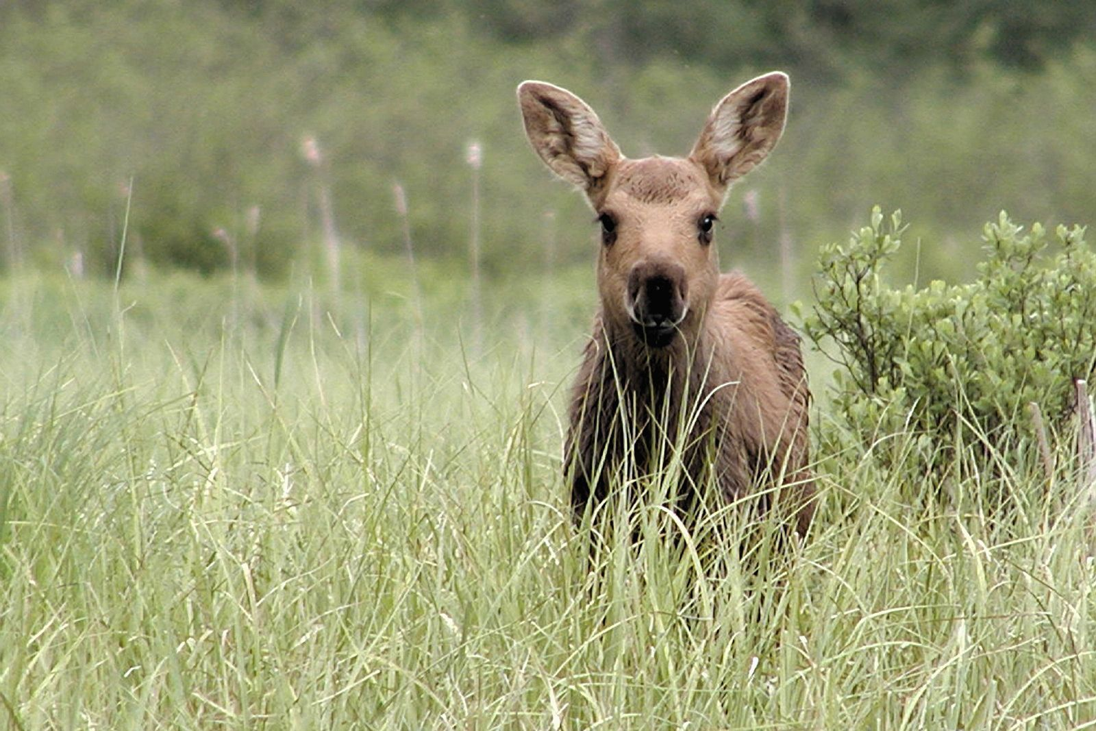 15321 download wallpaper Animals, Grass, Kangaroo screensavers and pictures for free