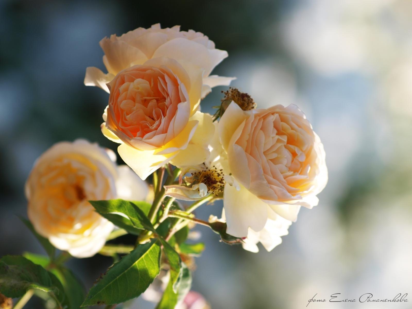 7231 скачать обои Растения, Цветы, Розы - заставки и картинки бесплатно