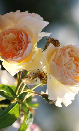7231 télécharger le fond d'écran Plantes, Fleurs, Roses - économiseurs d'écran et images gratuitement