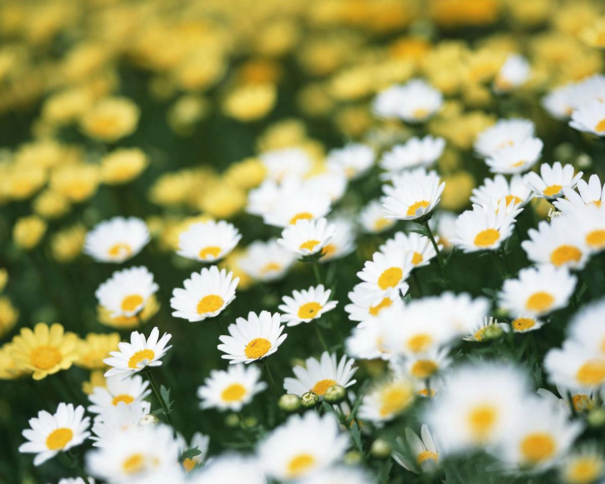 49612 скачать обои Растения, Цветы, Ромашки - заставки и картинки бесплатно
