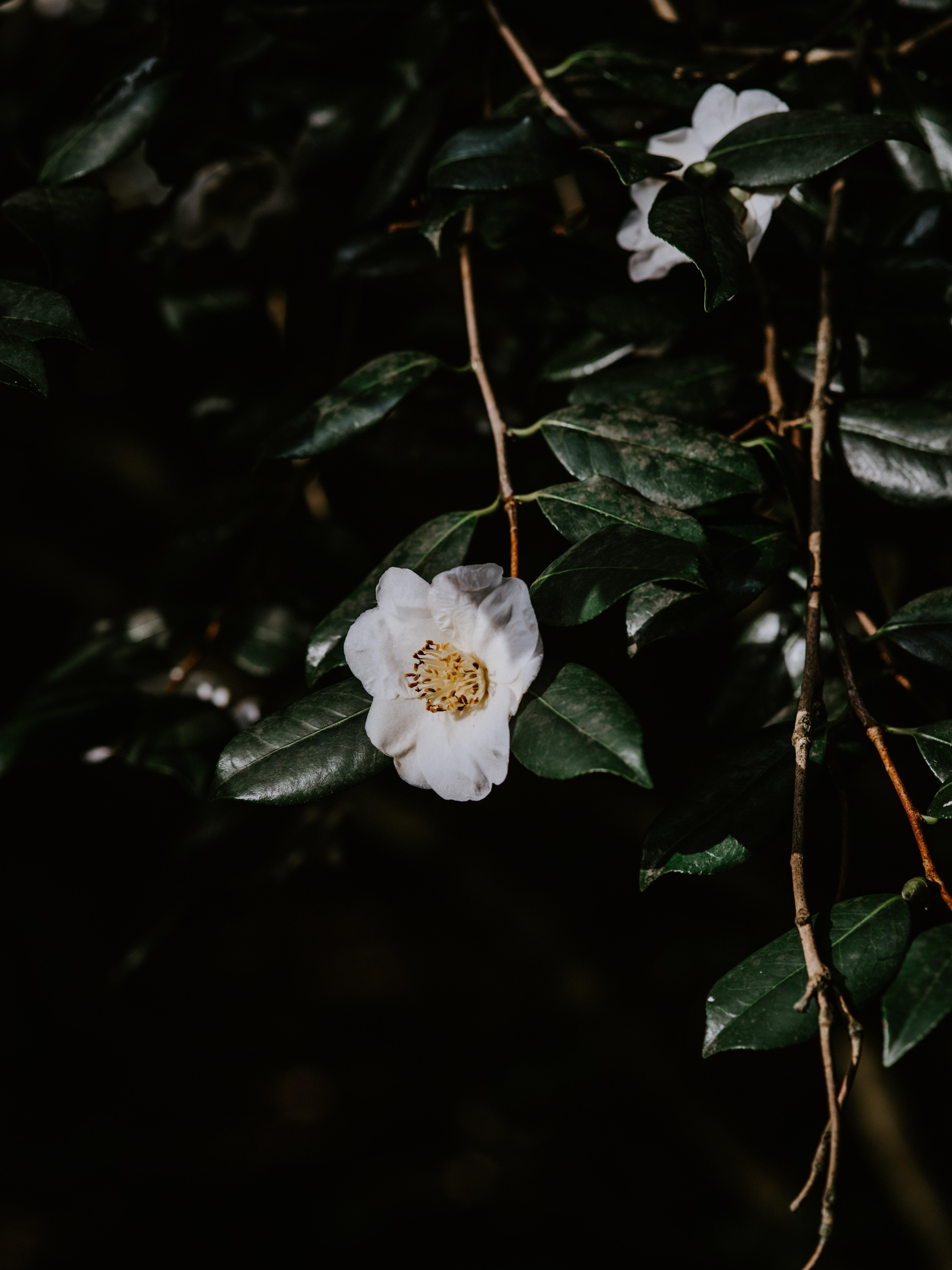 155593 скачать обои Цветы, Цветок, Ветки, Цветение, Листья, Темный - заставки и картинки бесплатно