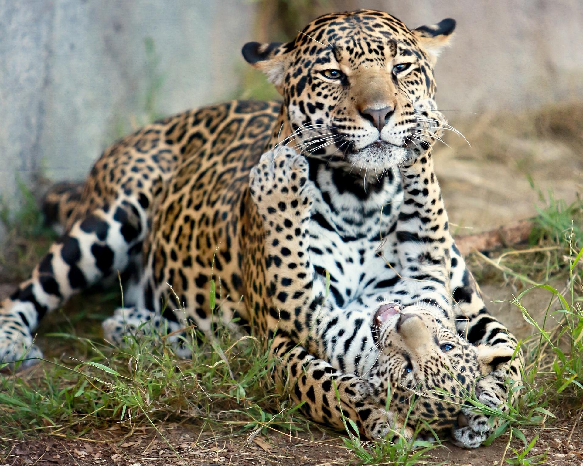 112396 Screensavers and Wallpapers Predators for phone. Download Animals, Cats, Jaguar, Predators, Kitty, Kitten, Motherhood, Baby Jaguar, Jaguar Cub pictures for free