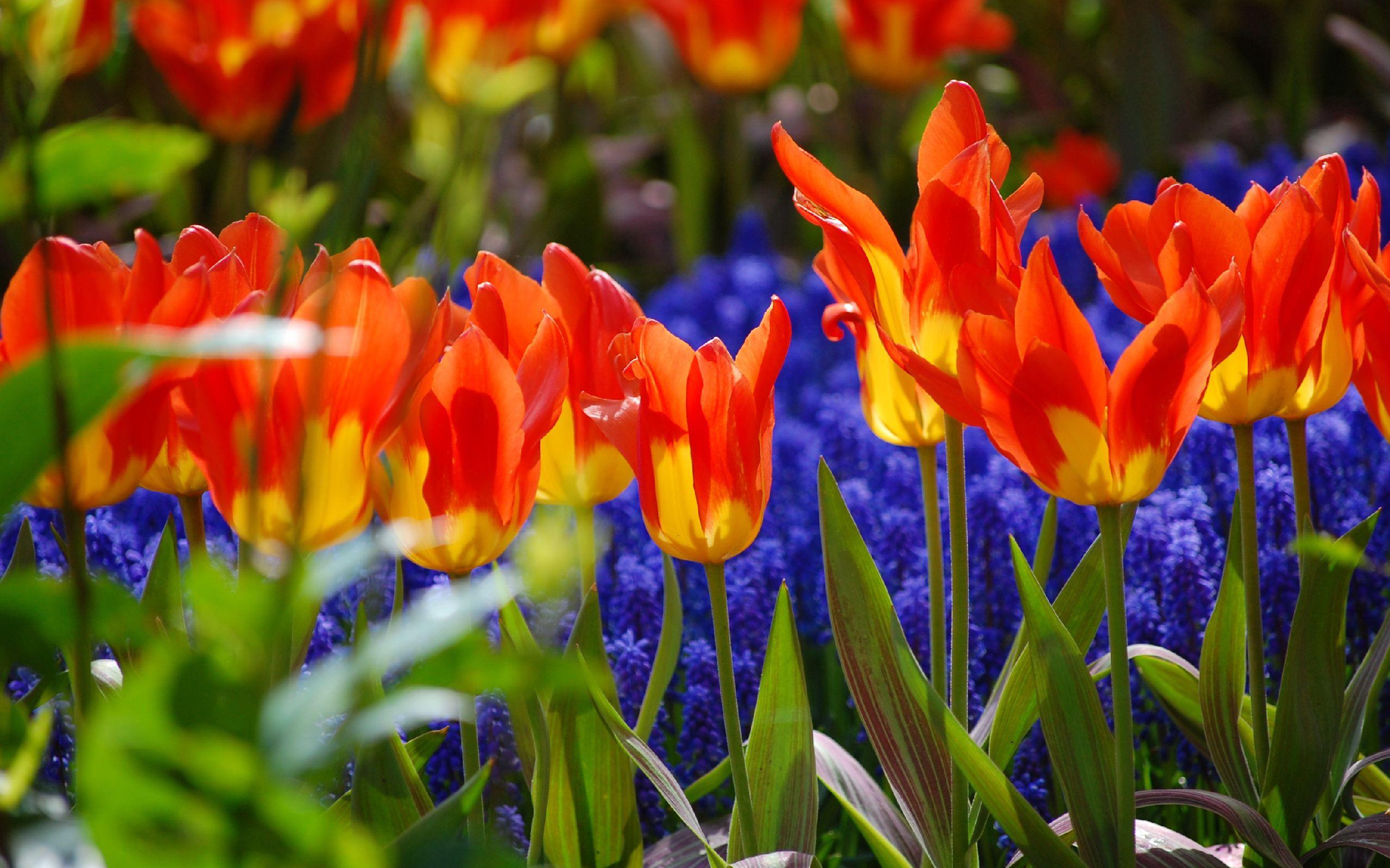 81070 descargar fondo de pantalla Flores, Planta, Pétalos, Tulipanes: protectores de pantalla e imágenes gratis