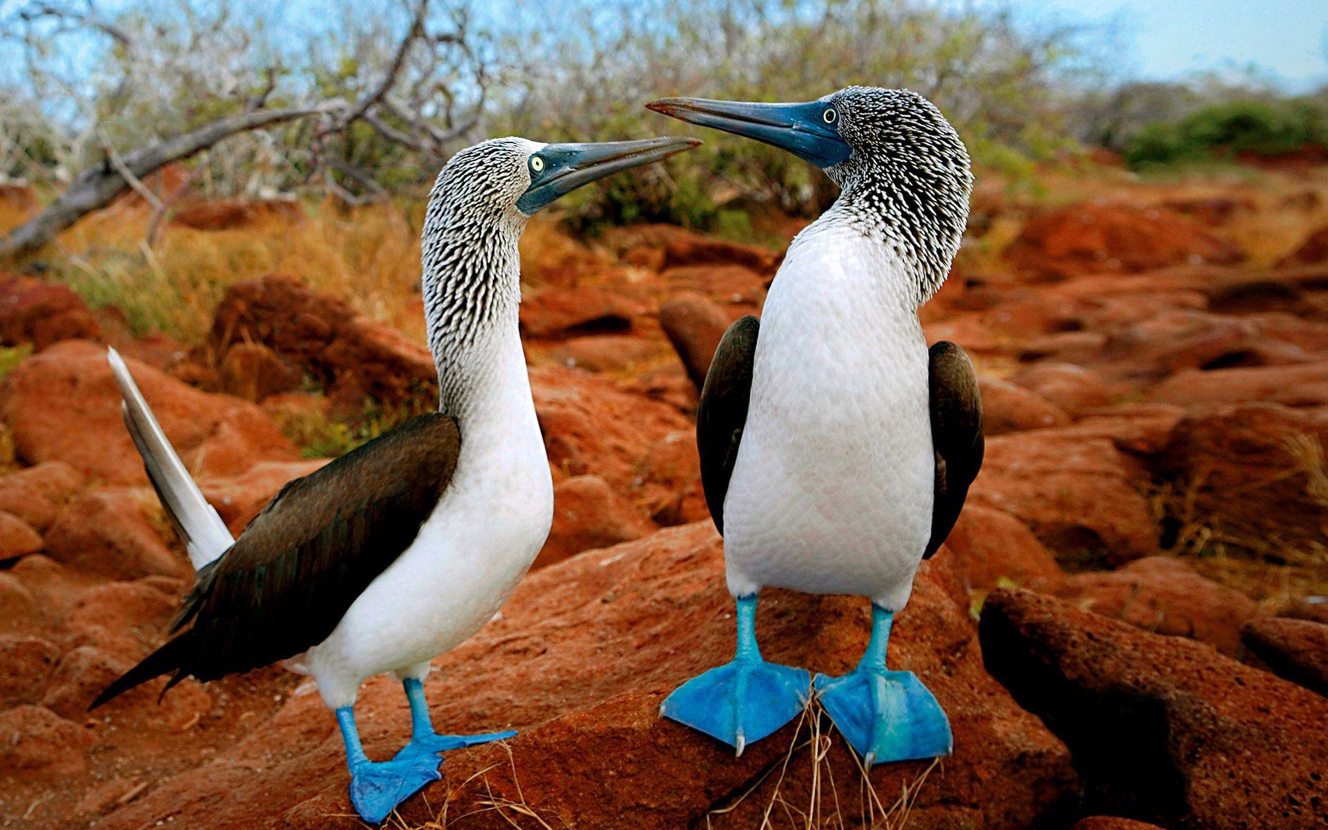 91268 скачать обои Животные, Птицы, Утки, Пара, Окрас, Лапы - заставки и картинки бесплатно